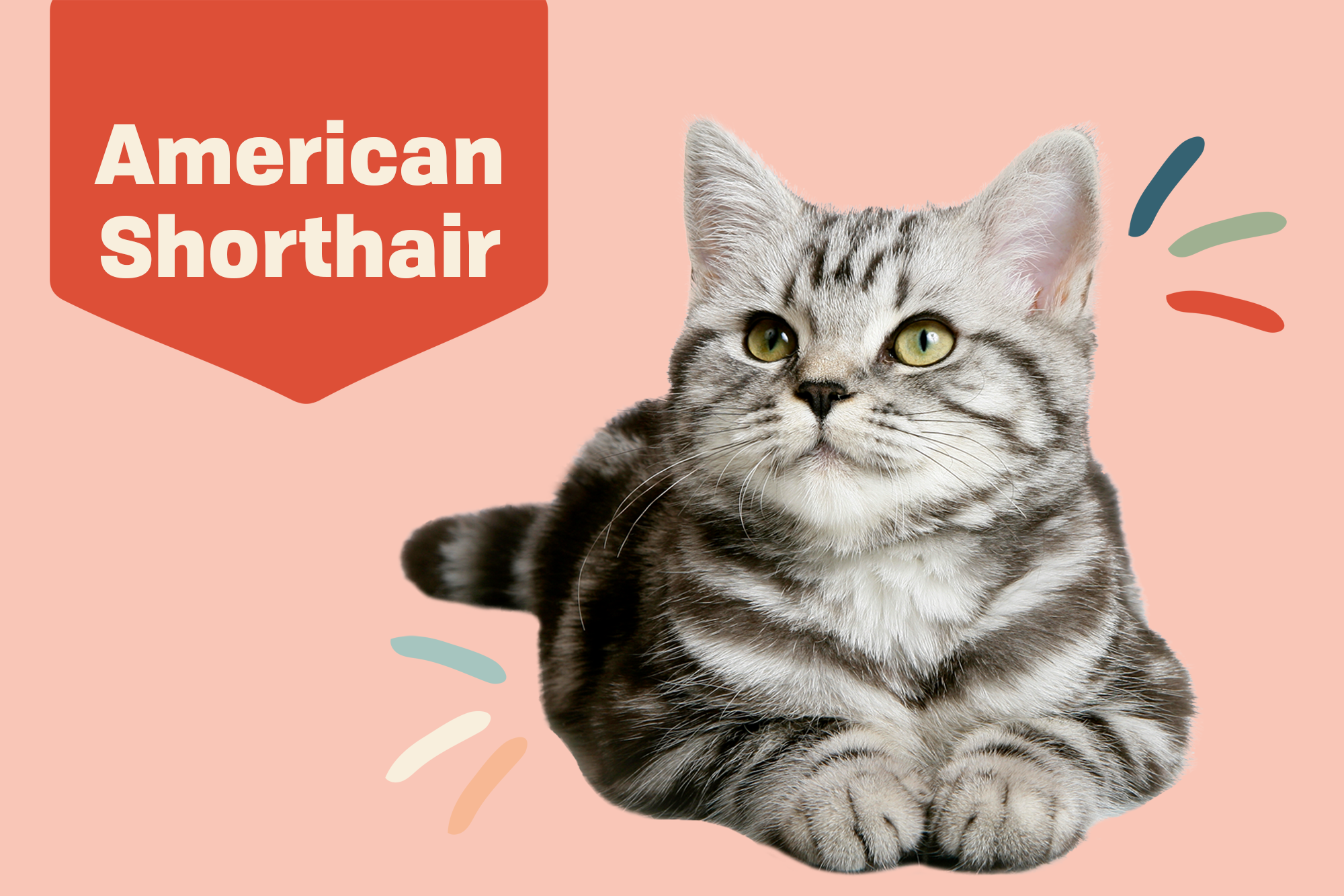 American Shorthair Breed Photo