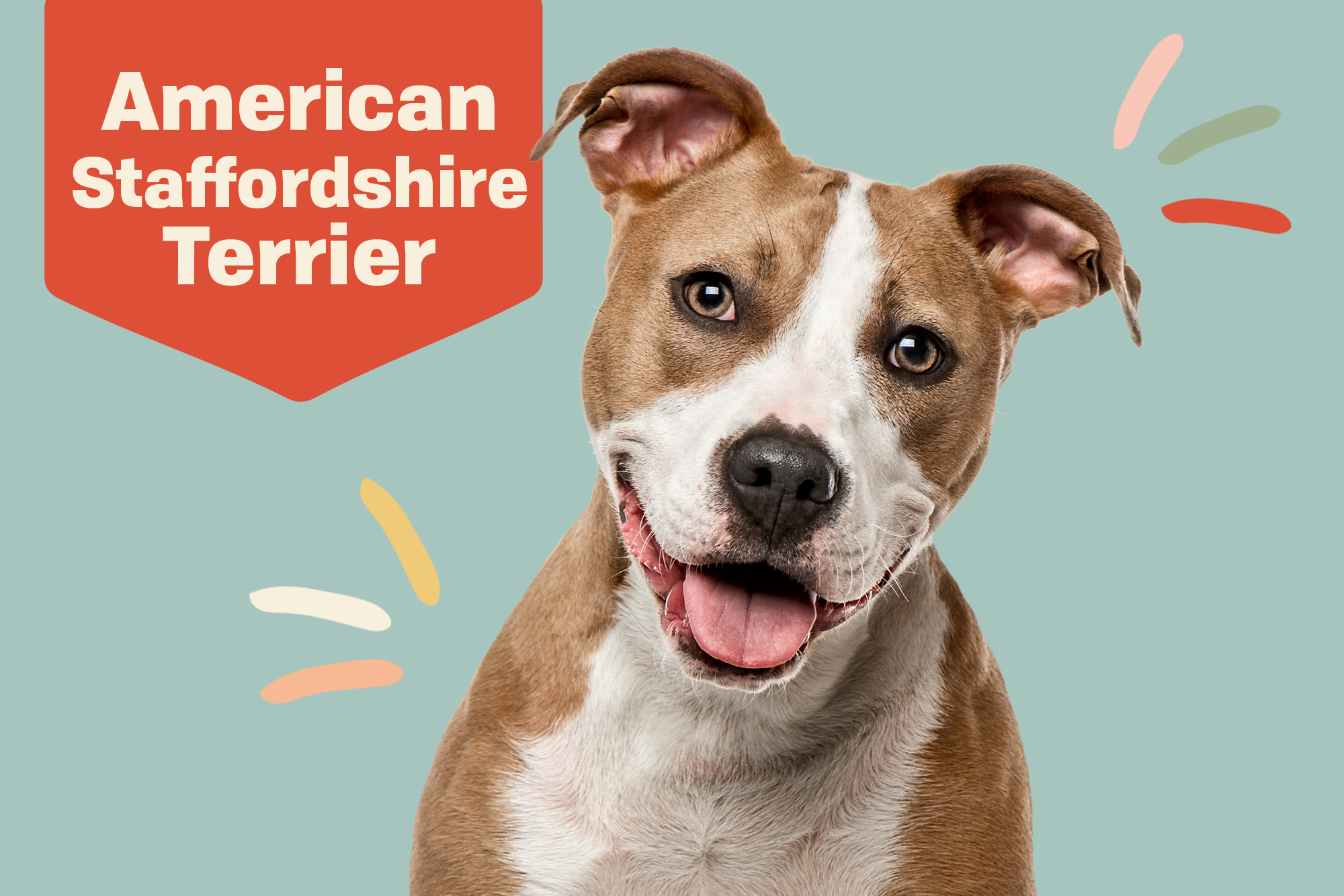American Staffordshire Terrier Breed Photo
