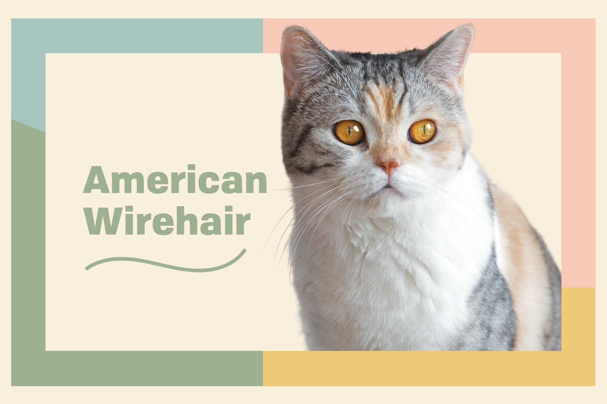American Wirehair Breed Photo