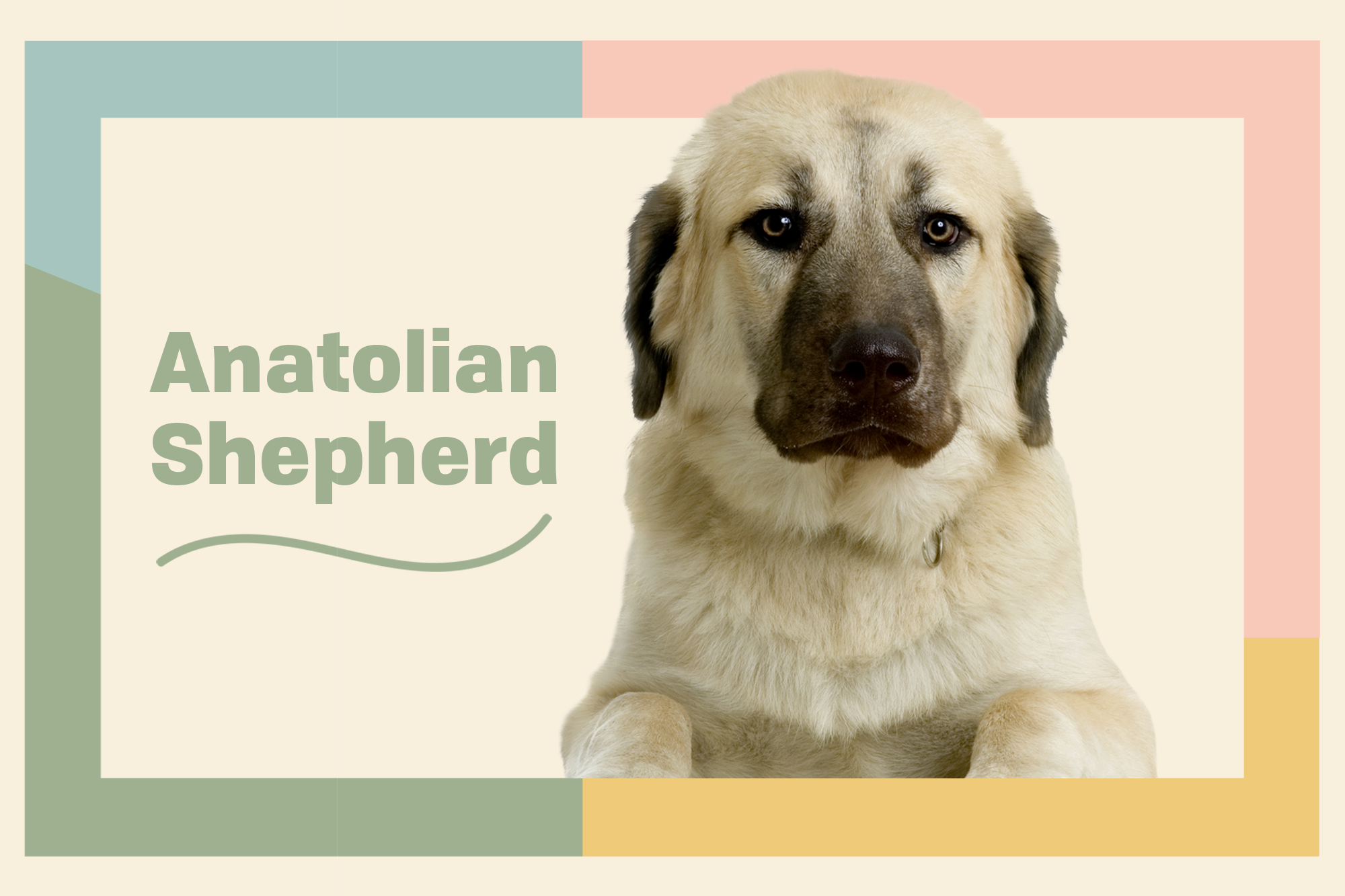 Anatolian Shepherd Breed Photo