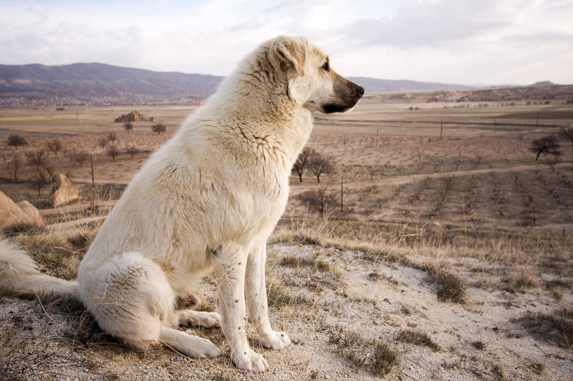 anatolian shepherd dog in desert