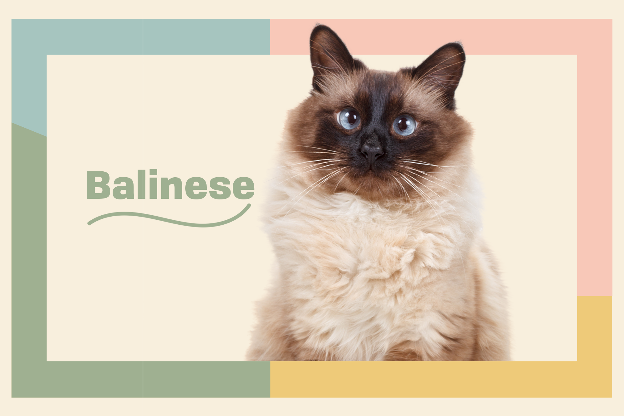 Balinese Breed Photo