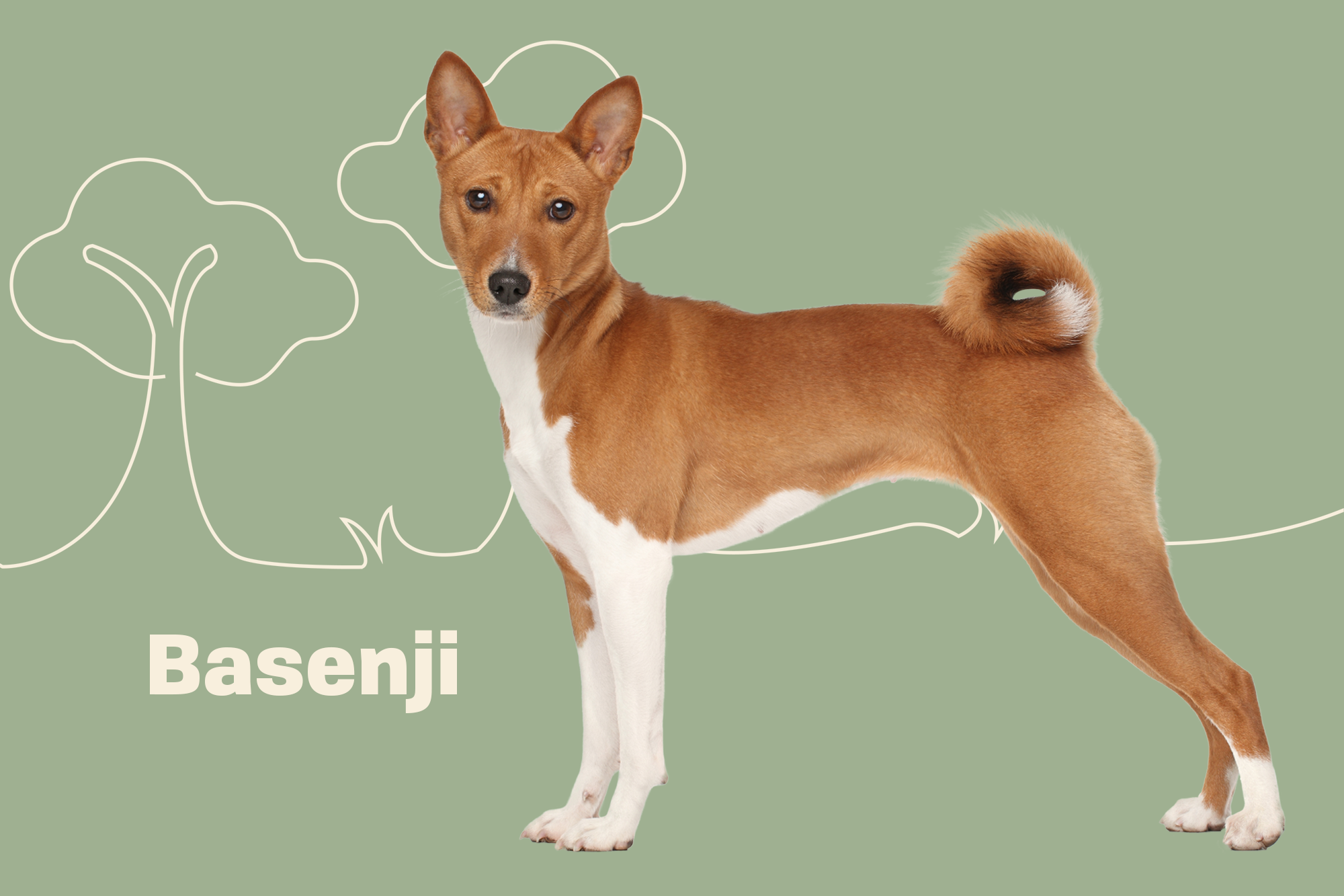 Basenji Breed Photo