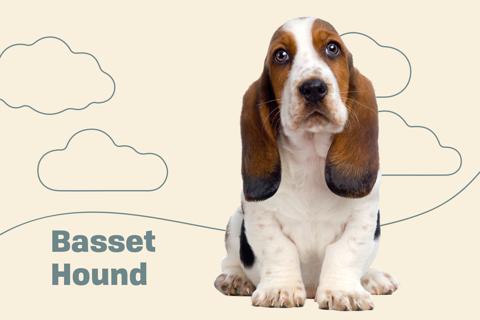 Basset Hound Breed Photo
