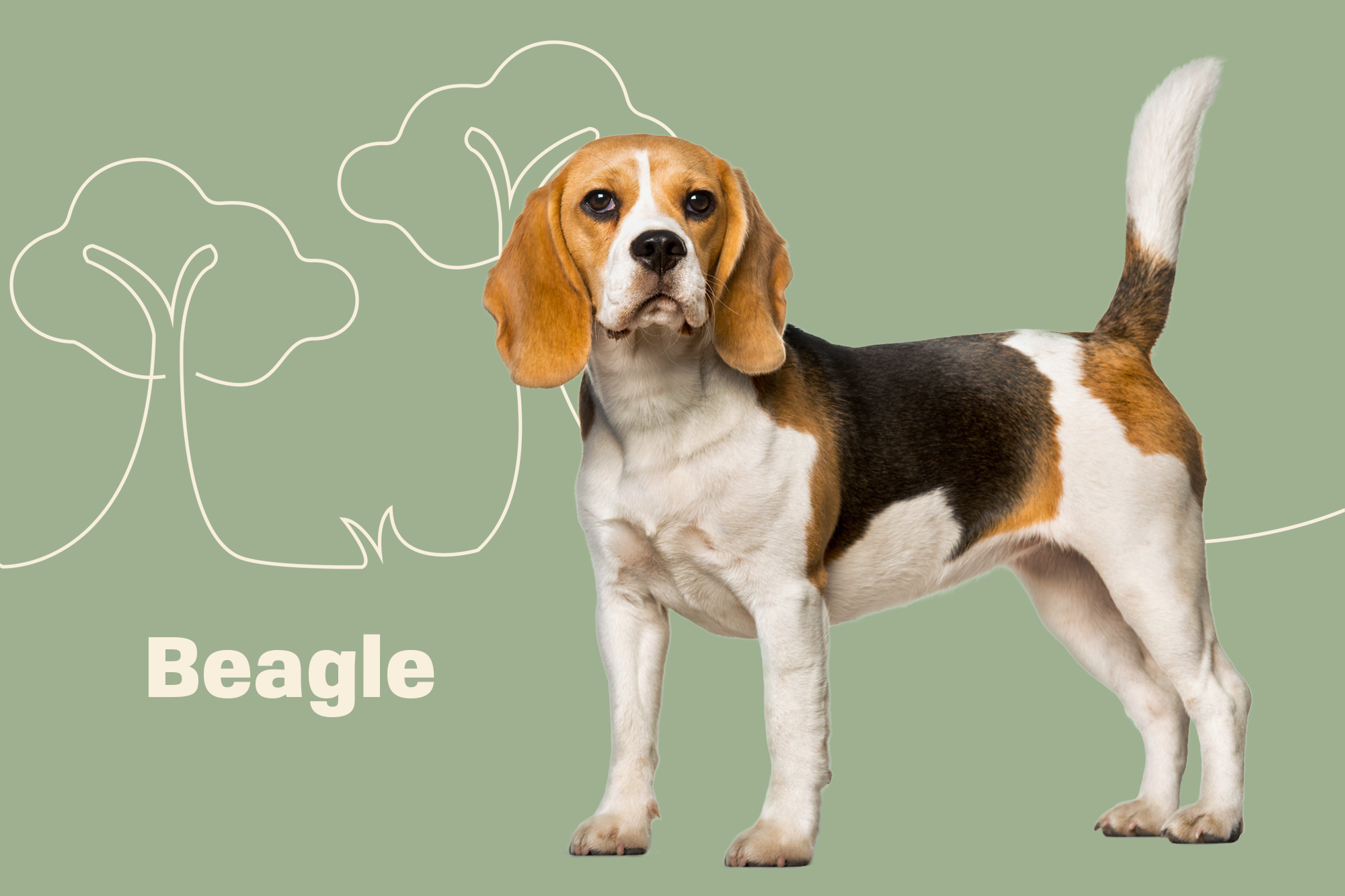 Beagle Breed Photo