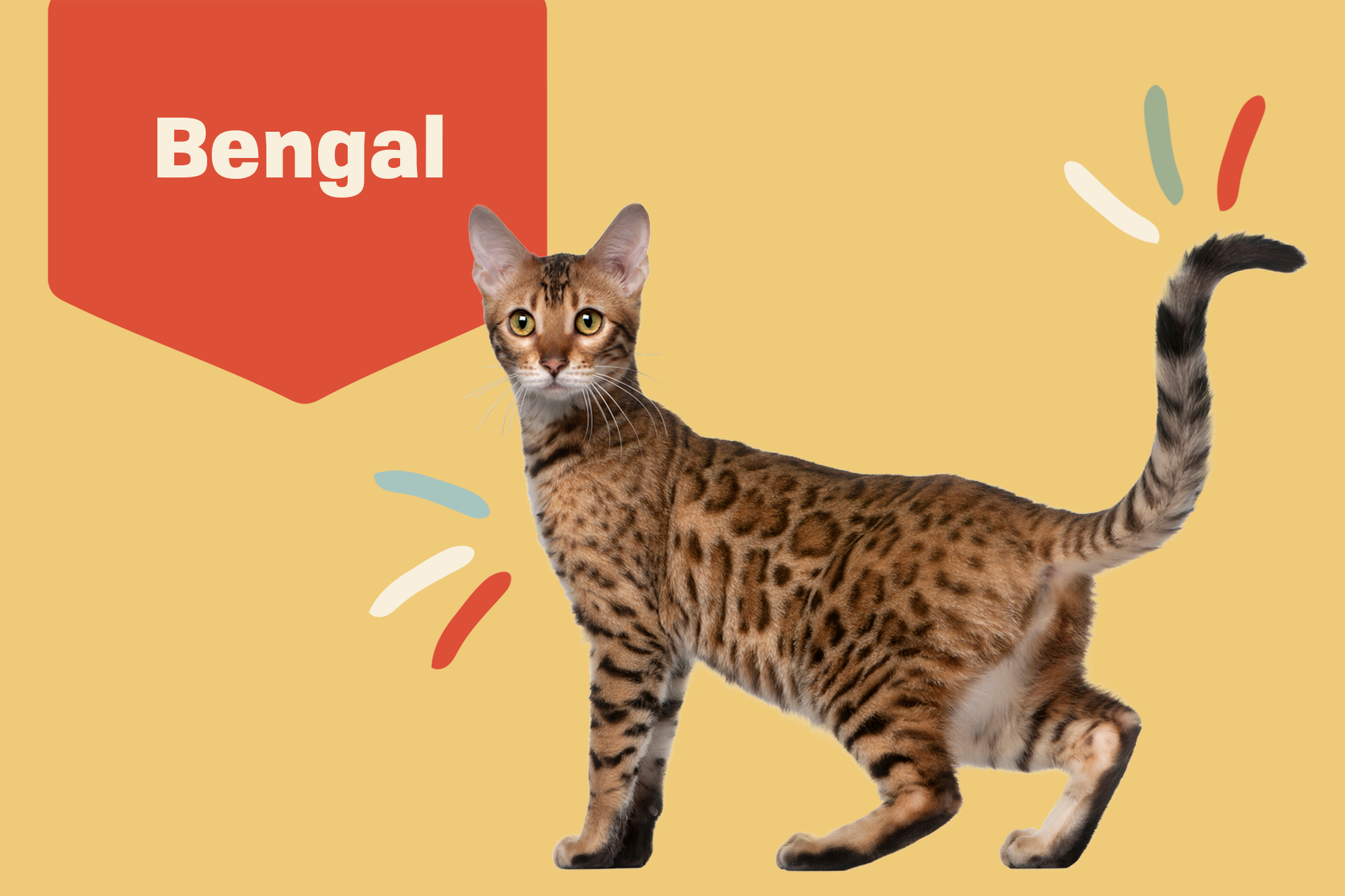 Bengal Breed Photo