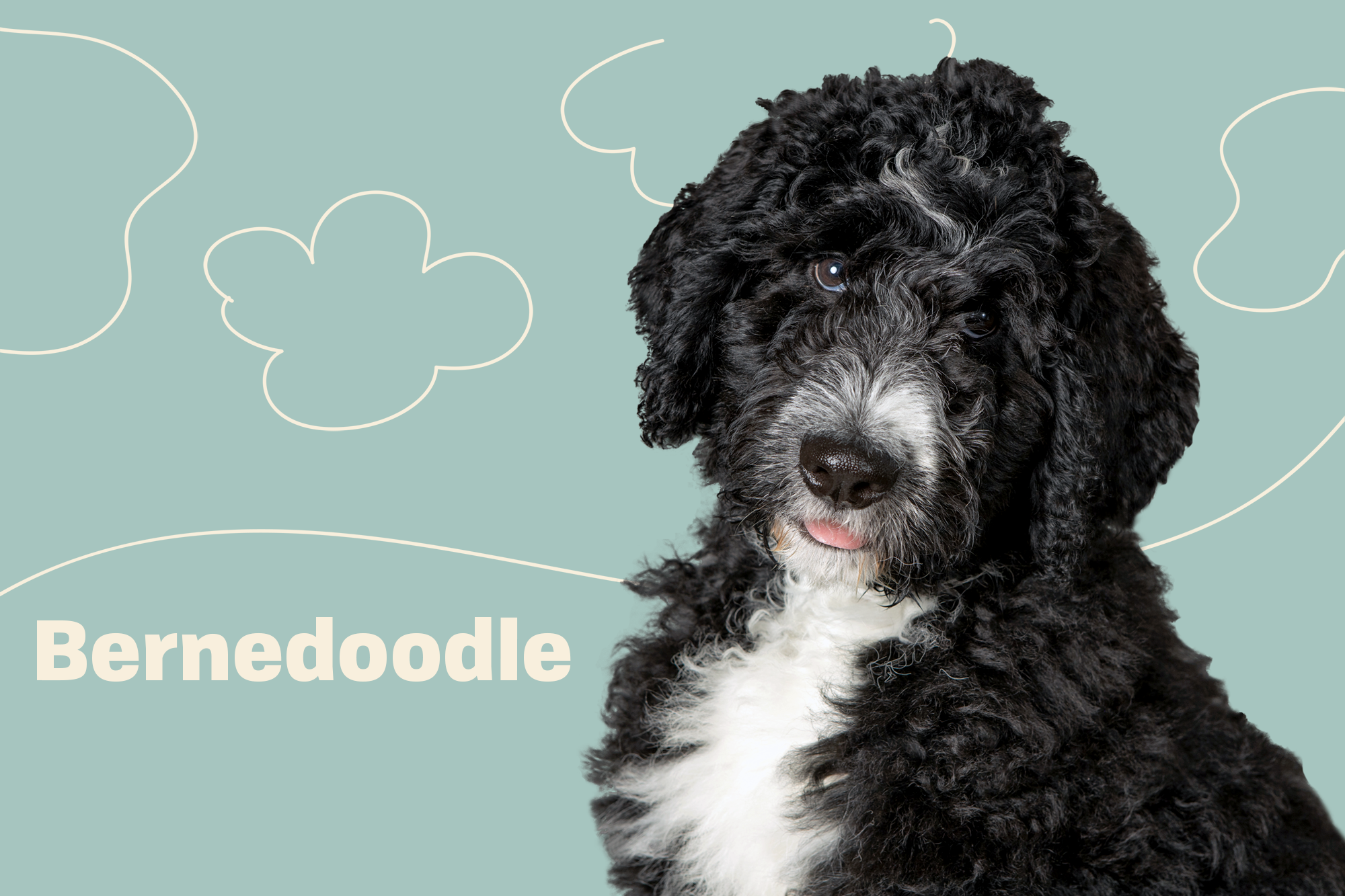Bernedoodle Breed Photo