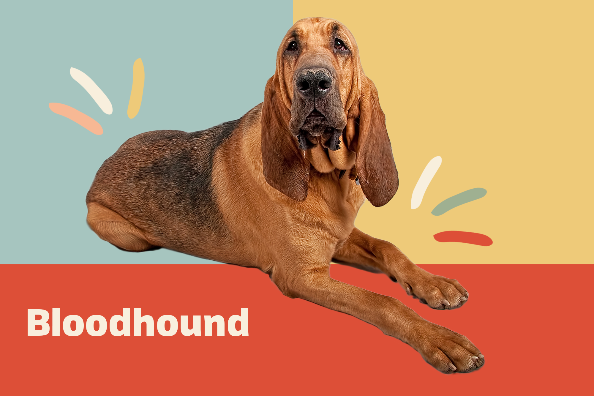 Bloodhound Breed Photo