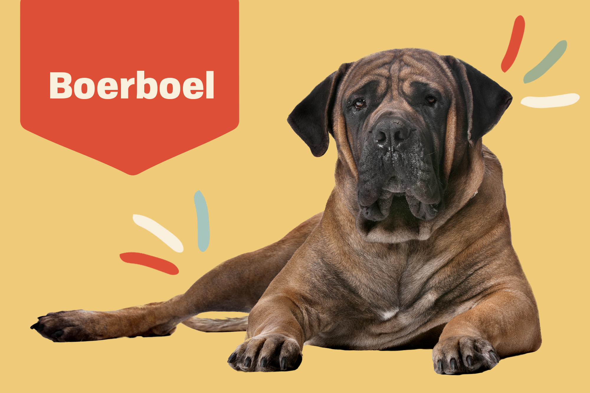 Boerboel Breed Photo