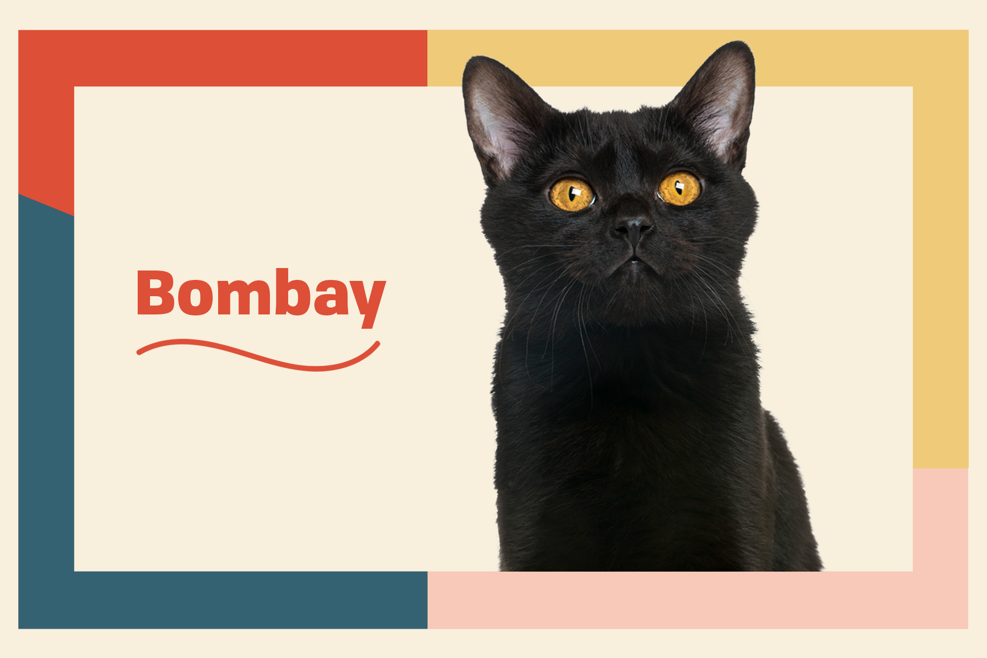Bombay Breed Photo