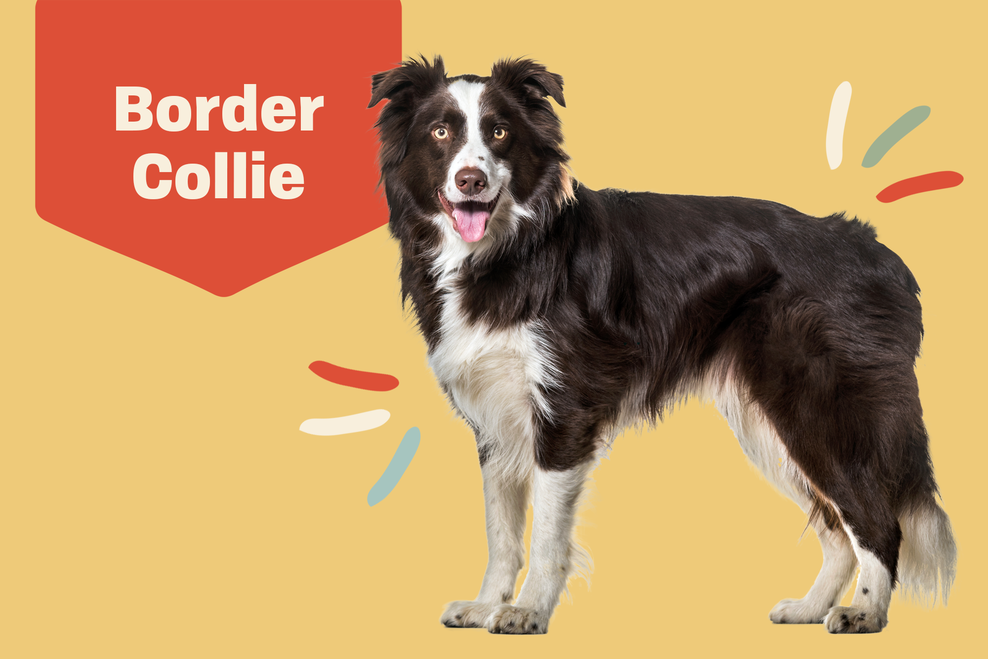 Border Collie Breed Photo