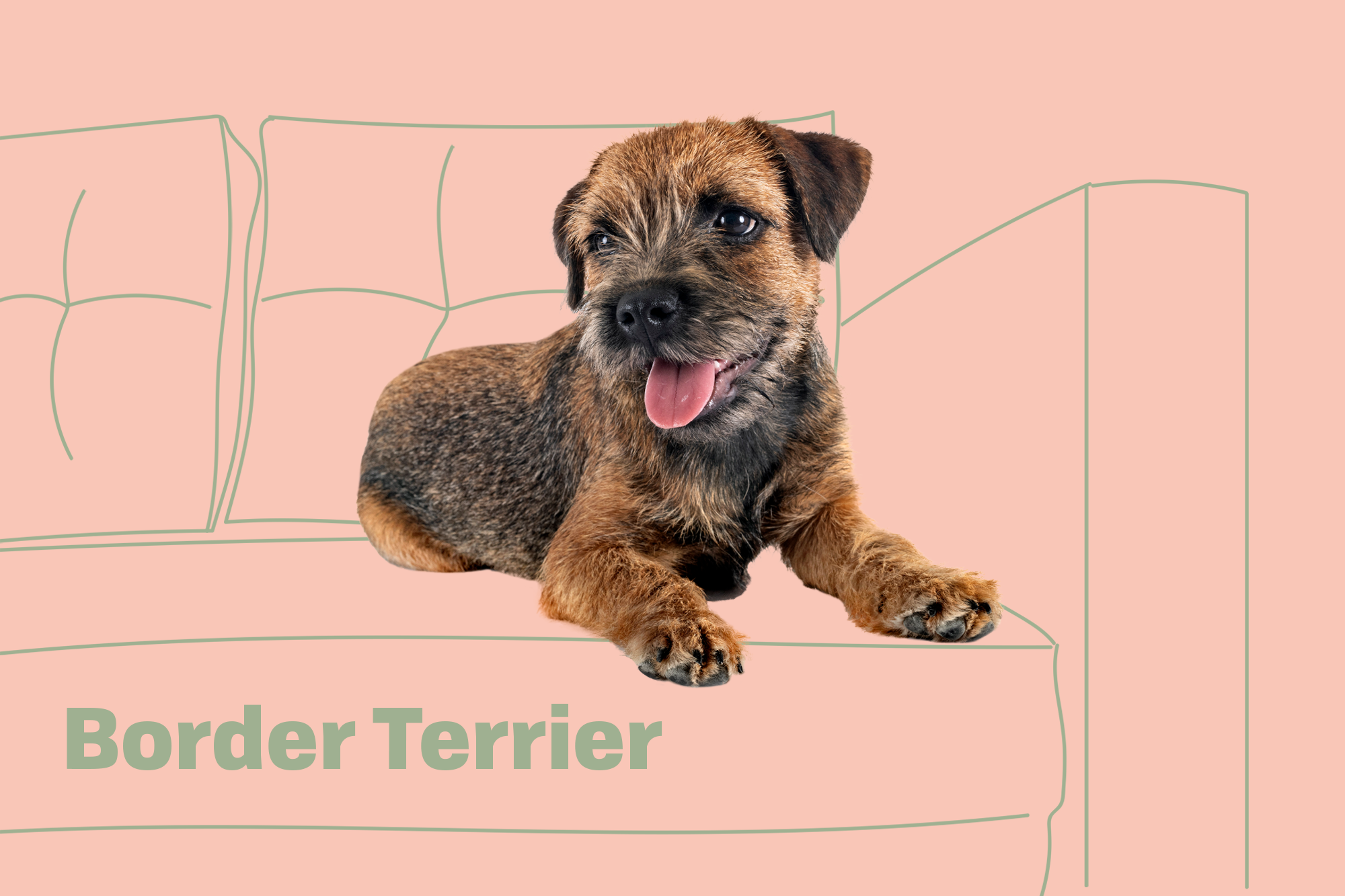 Border Terrier Breed Photo
