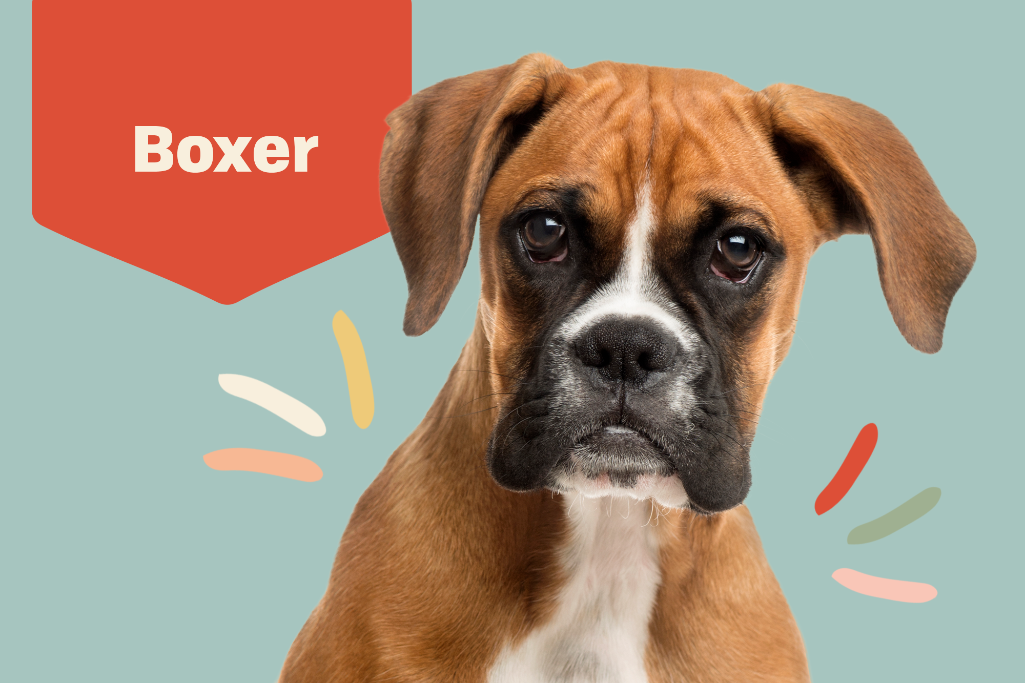 Boxer Breed Photo