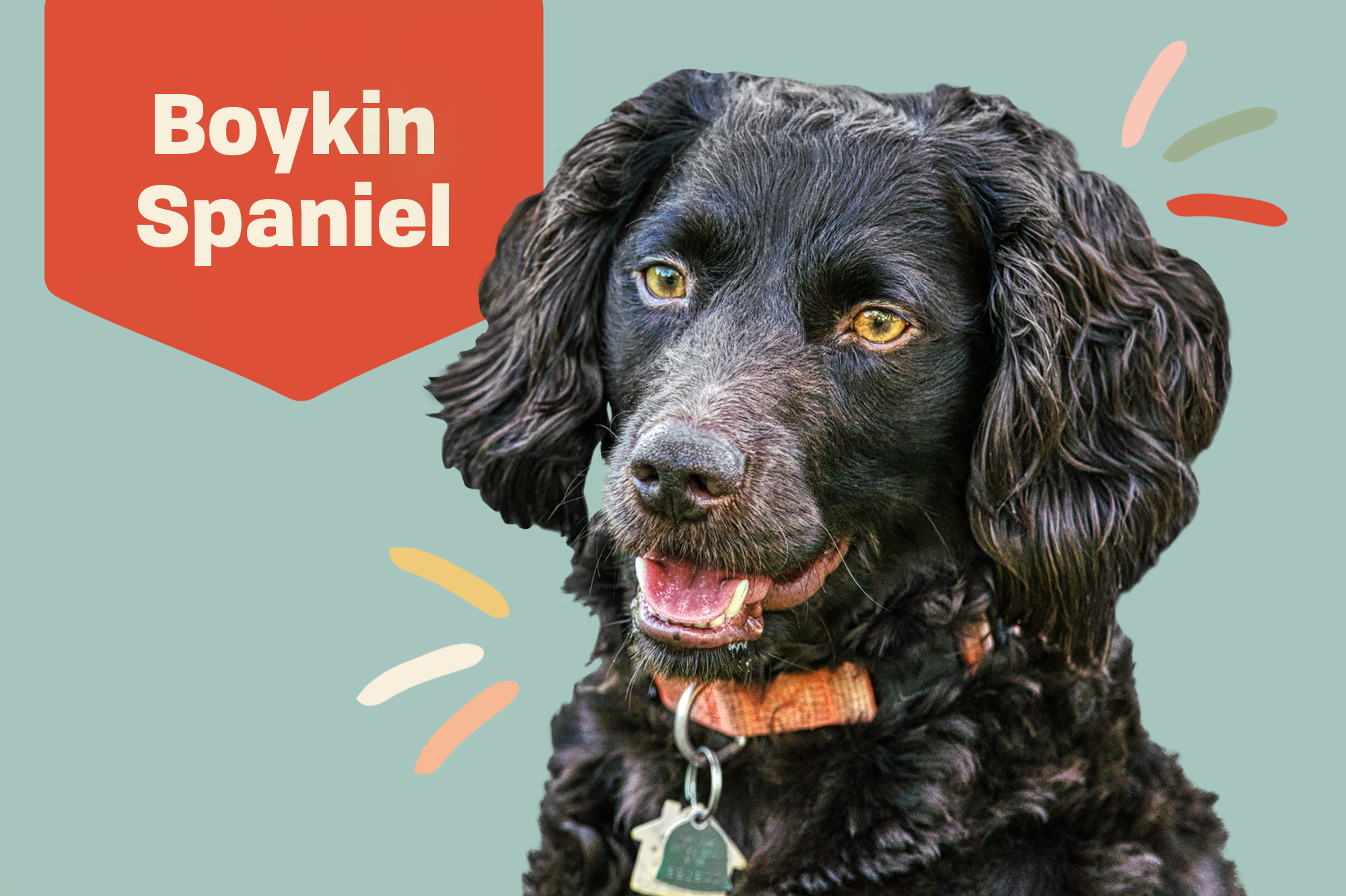 Boykin Spaniel Breed Photo