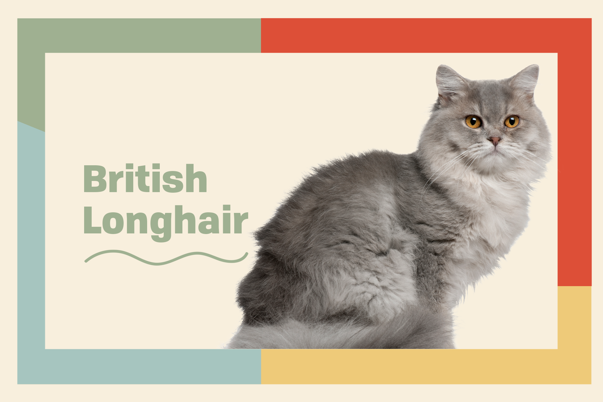 British Longhair Breed Photo