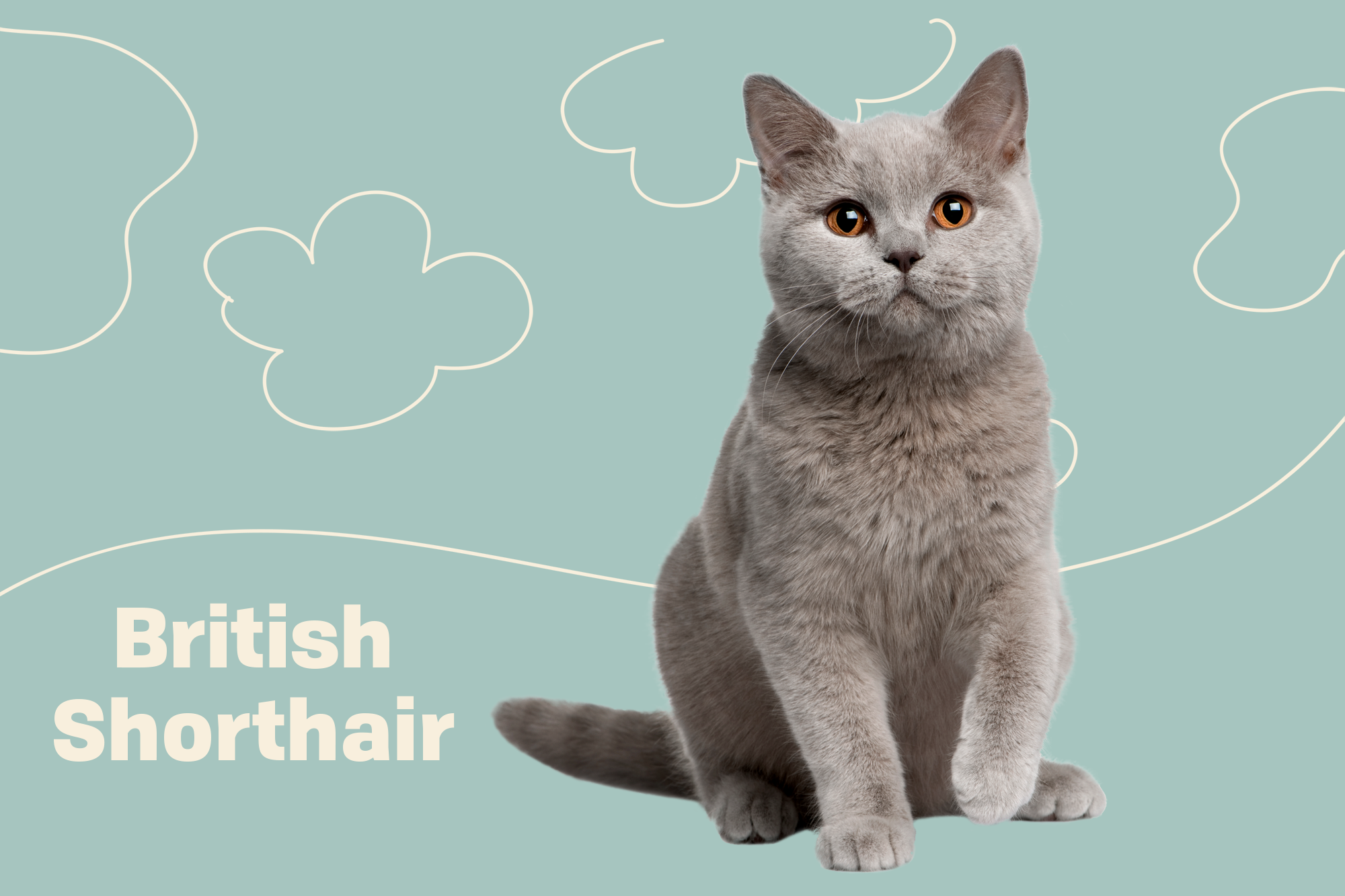 British Shorthair Breed Photo