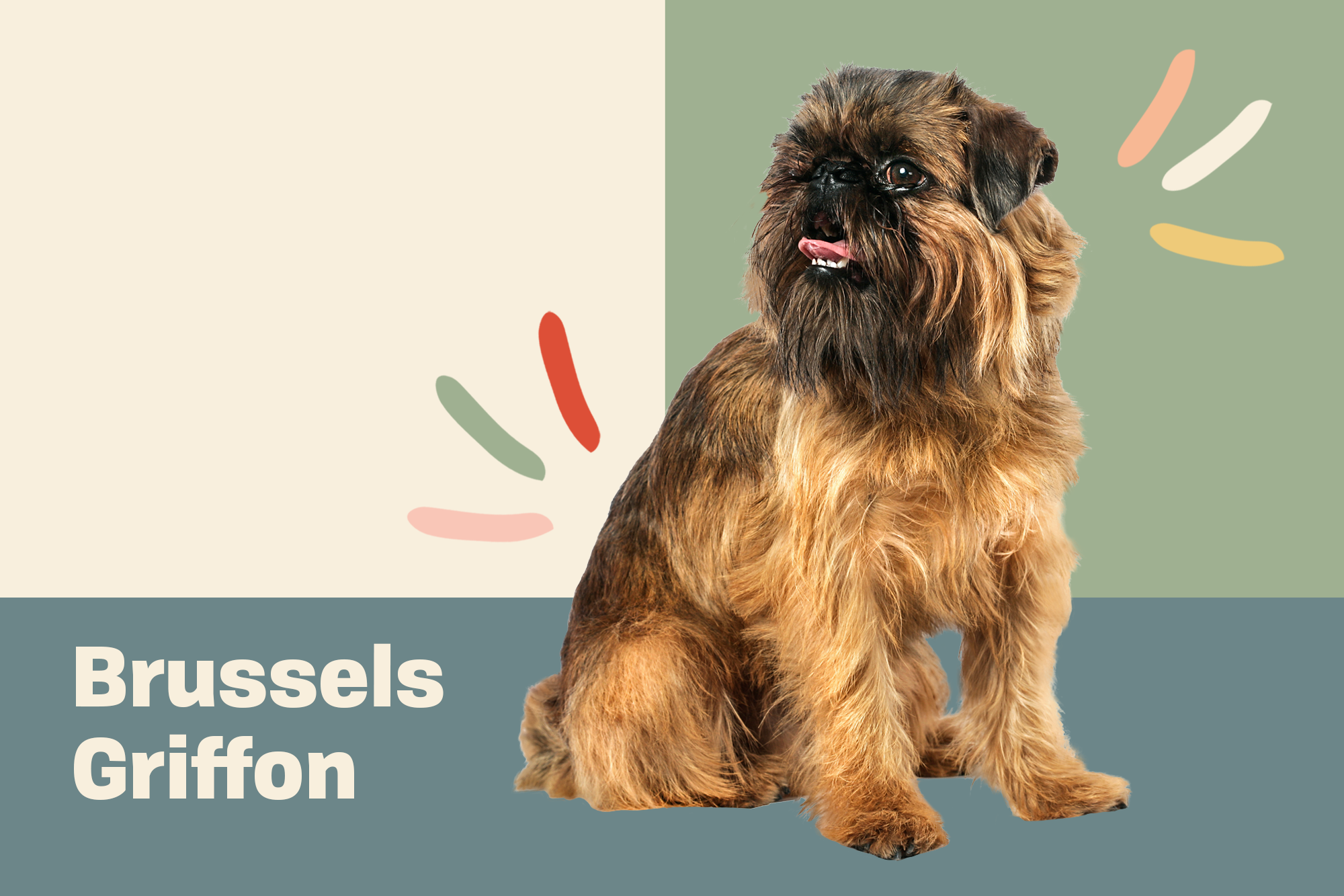Brussels Griffon Breed Photo