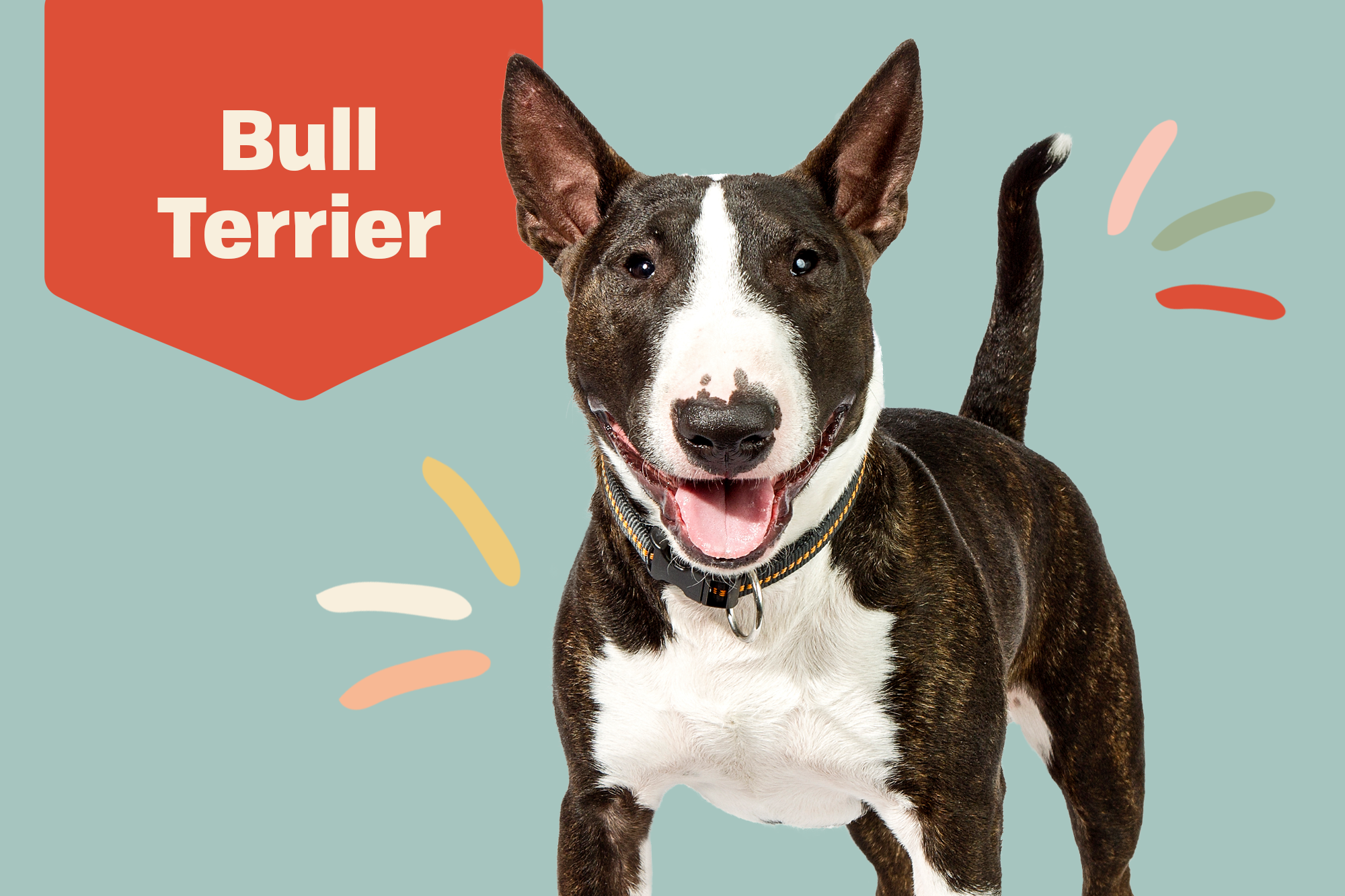 Bull Terrier Breed Photo