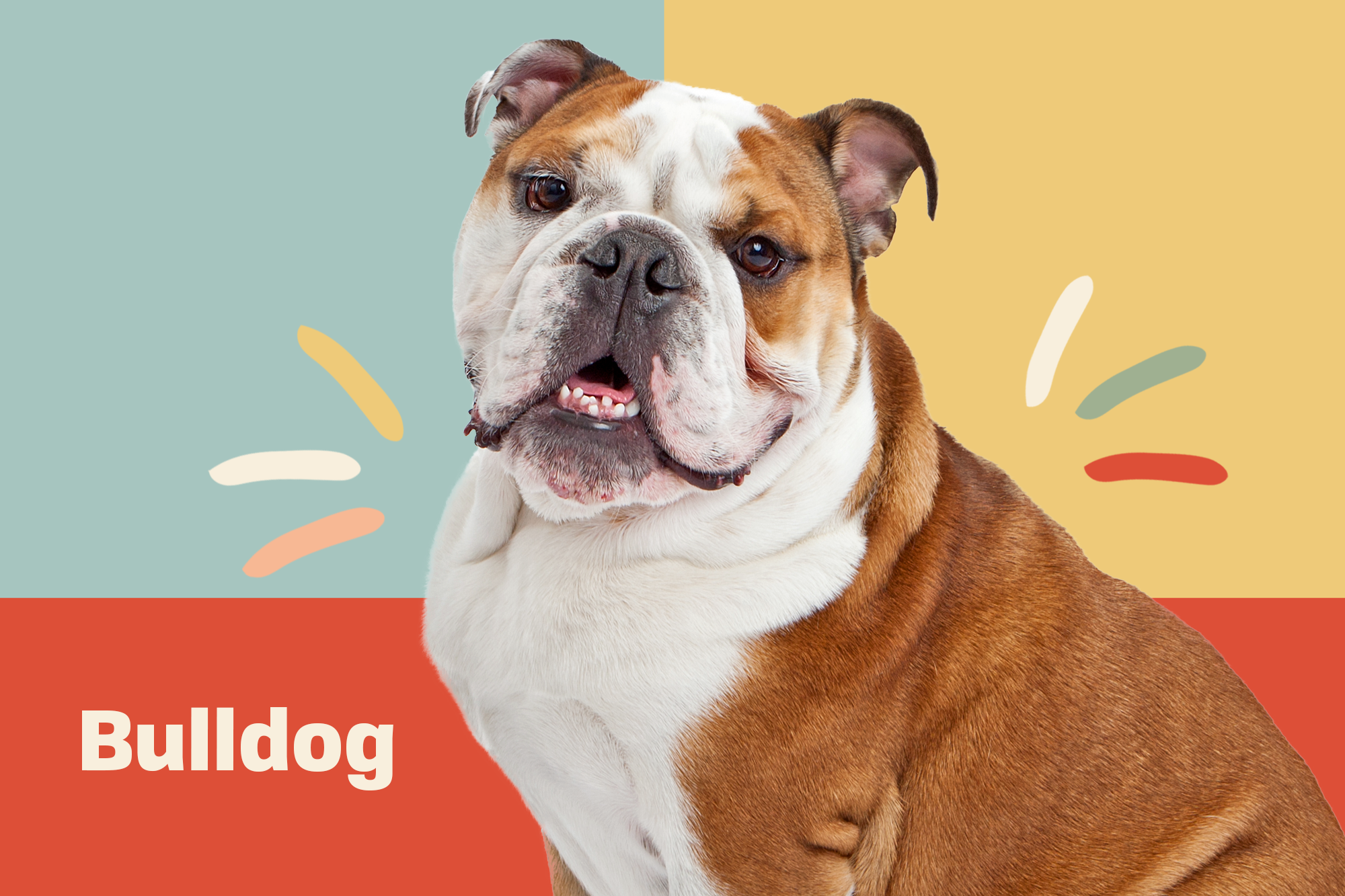 Bulldog Breed Photo
