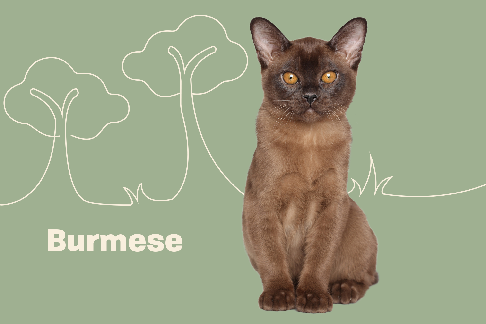 Burmese Cat Breed Photo