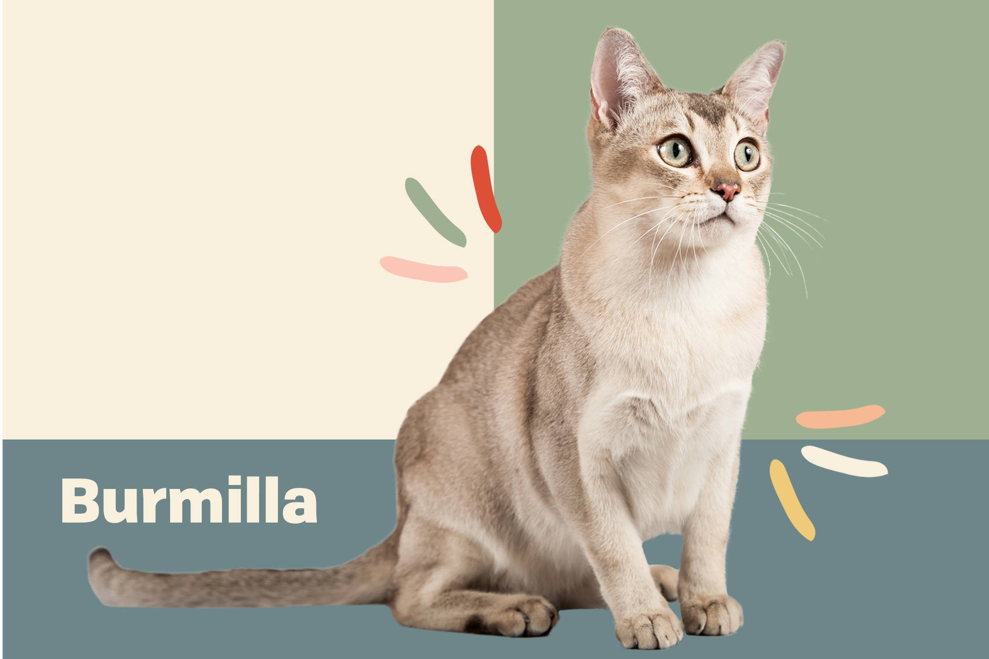 Burmilla Breed Photo