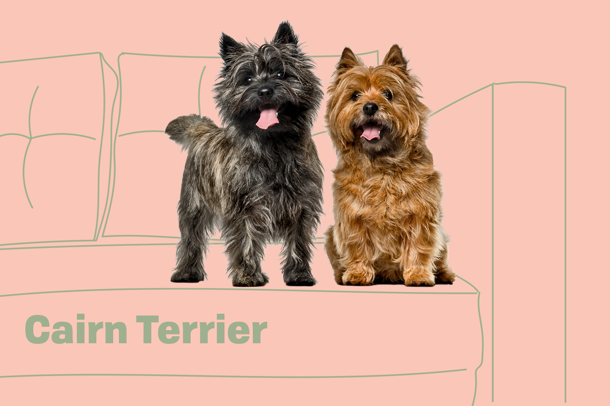 Cairn Terrier Breed Photo