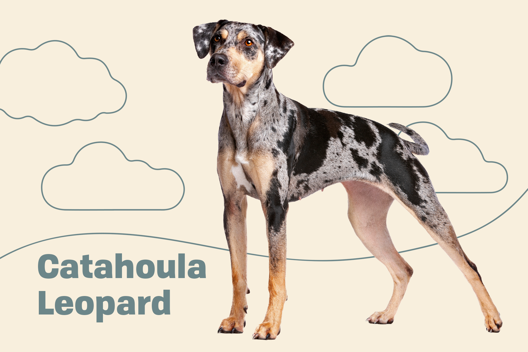 Catahoula Leopard Dog Breed Photo