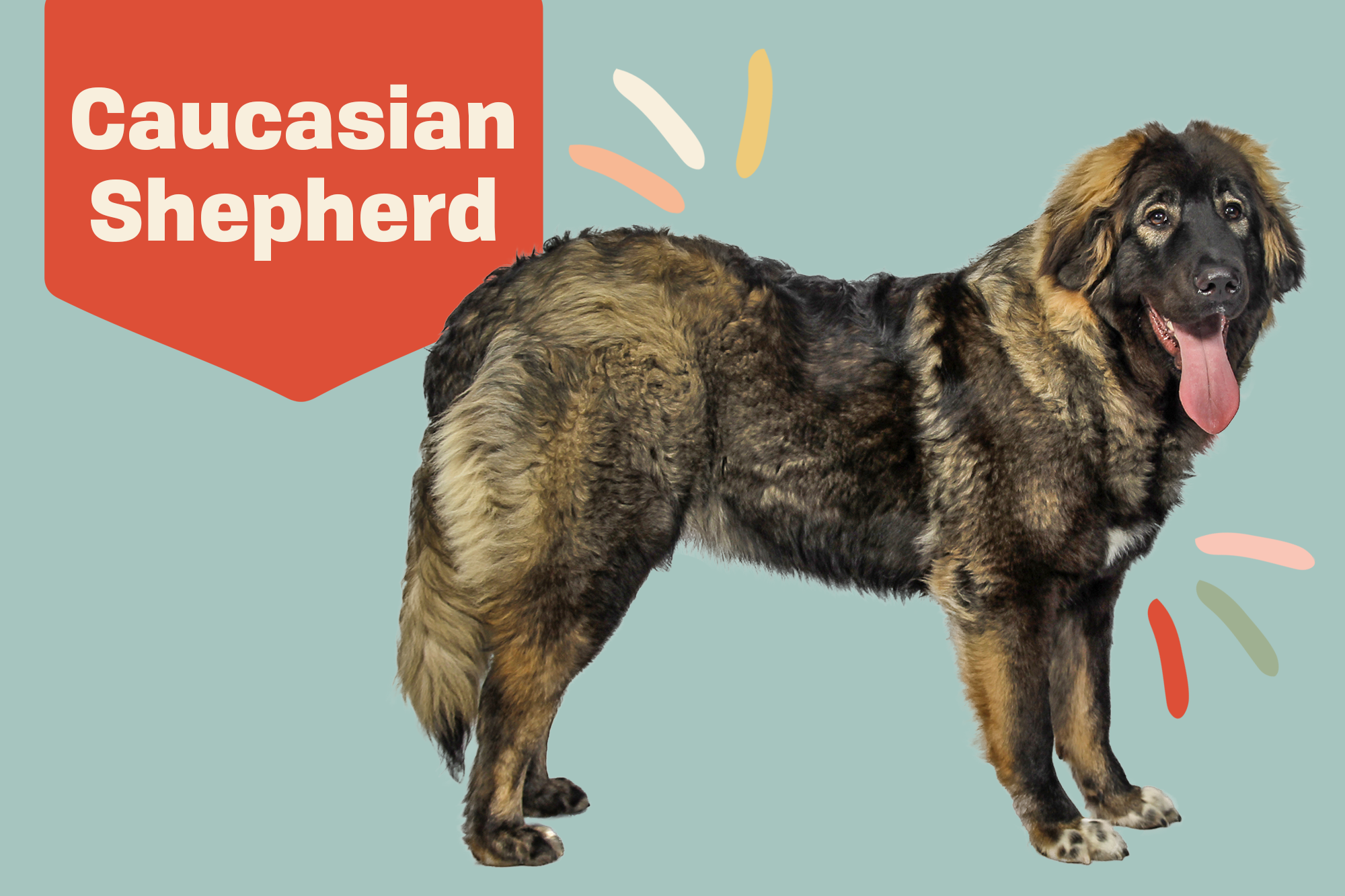Caucasian Shepherd Dog Breed Photo