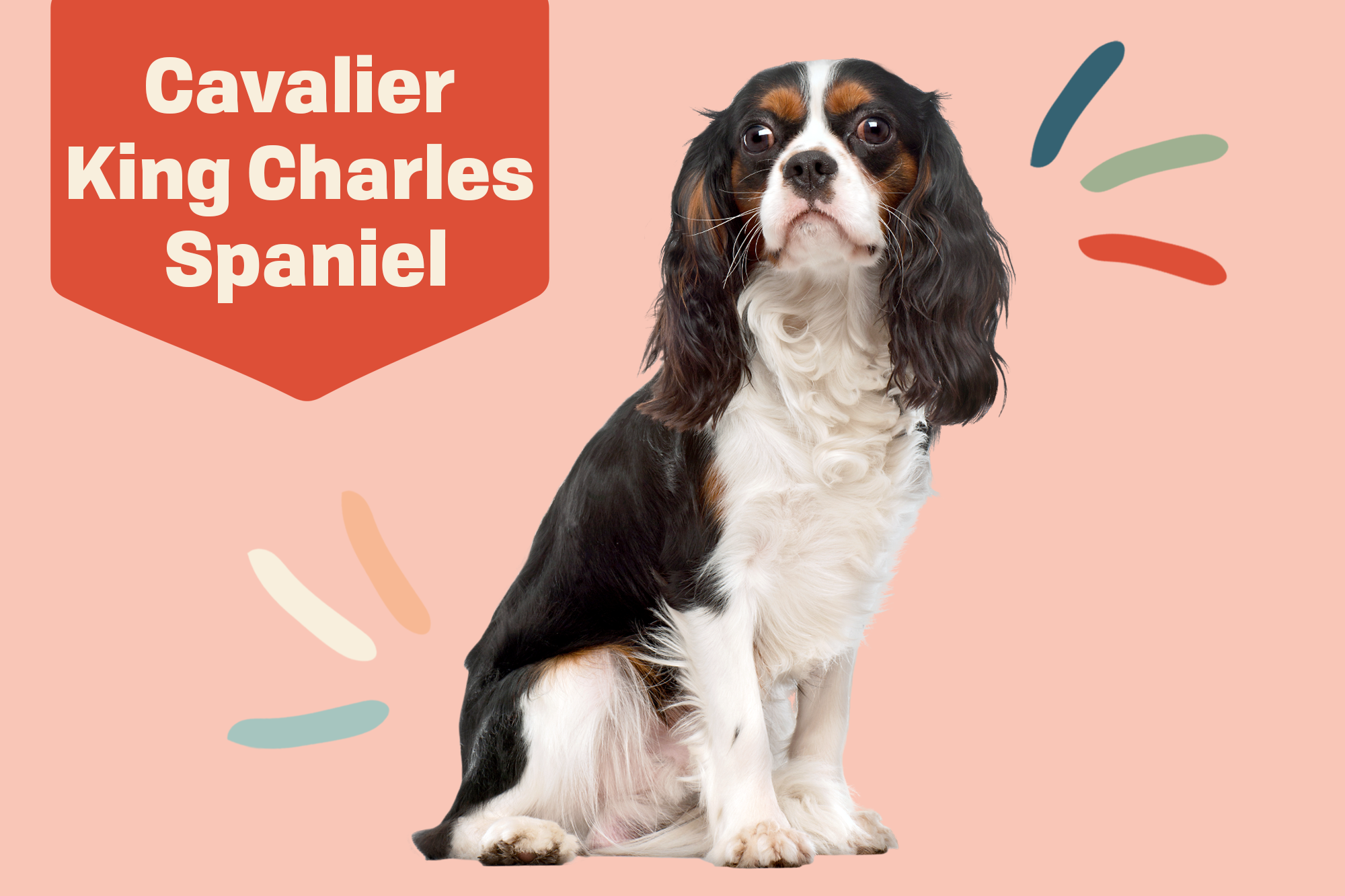 Cavalier King Charles Spaniel Breed Photo