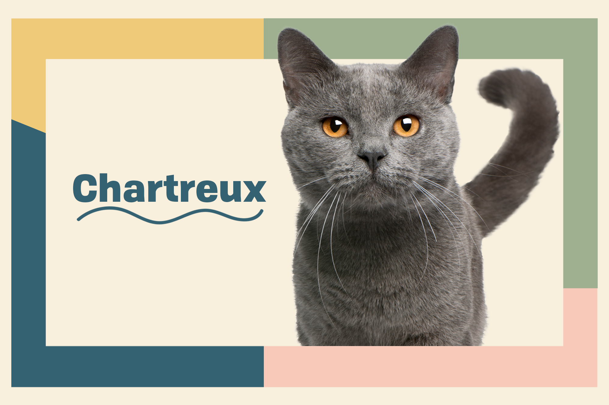 Chartreux Breed Photo