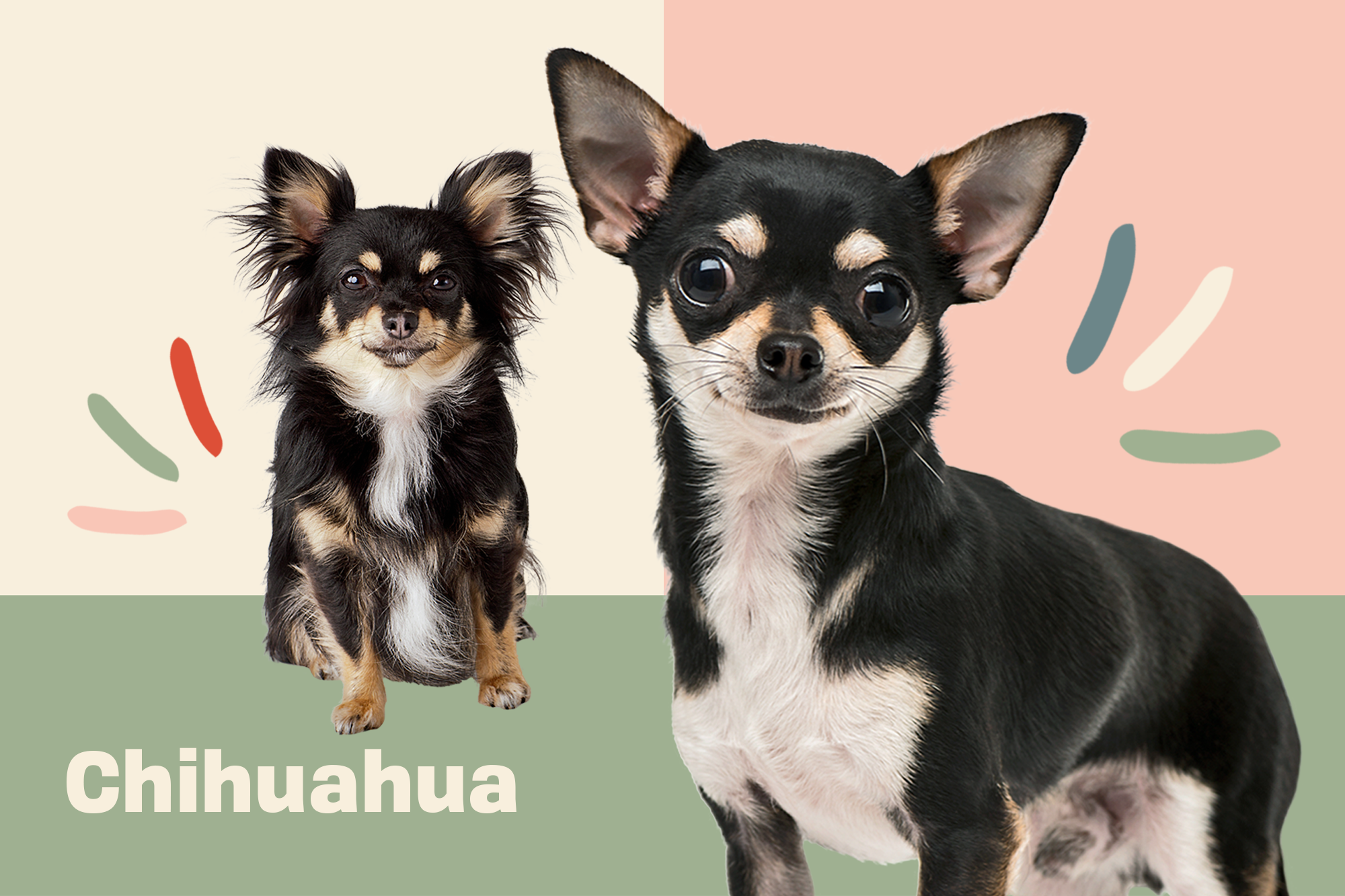 Chihuahua Breed Photo