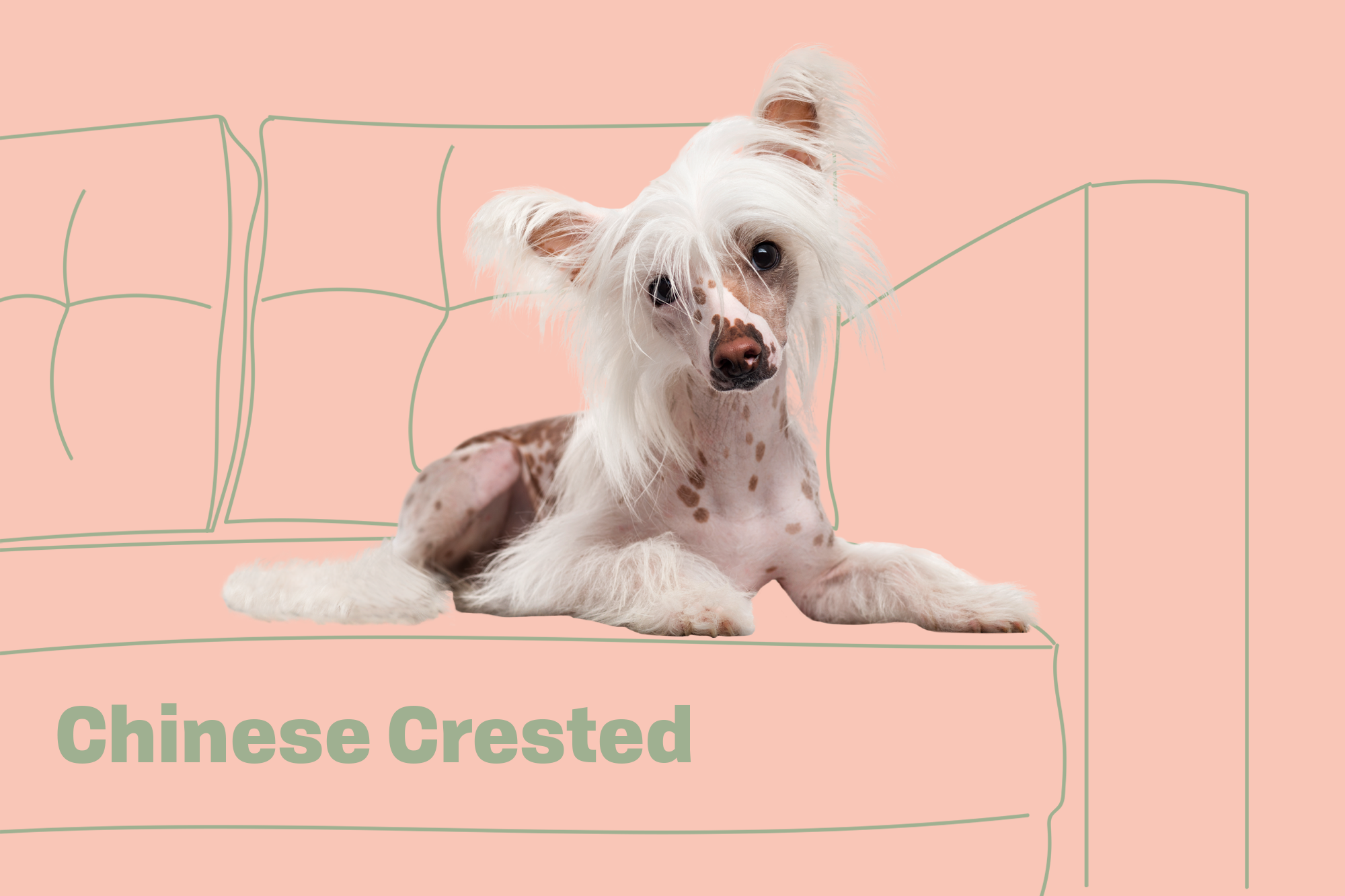 Chinese Crested Breed Photo