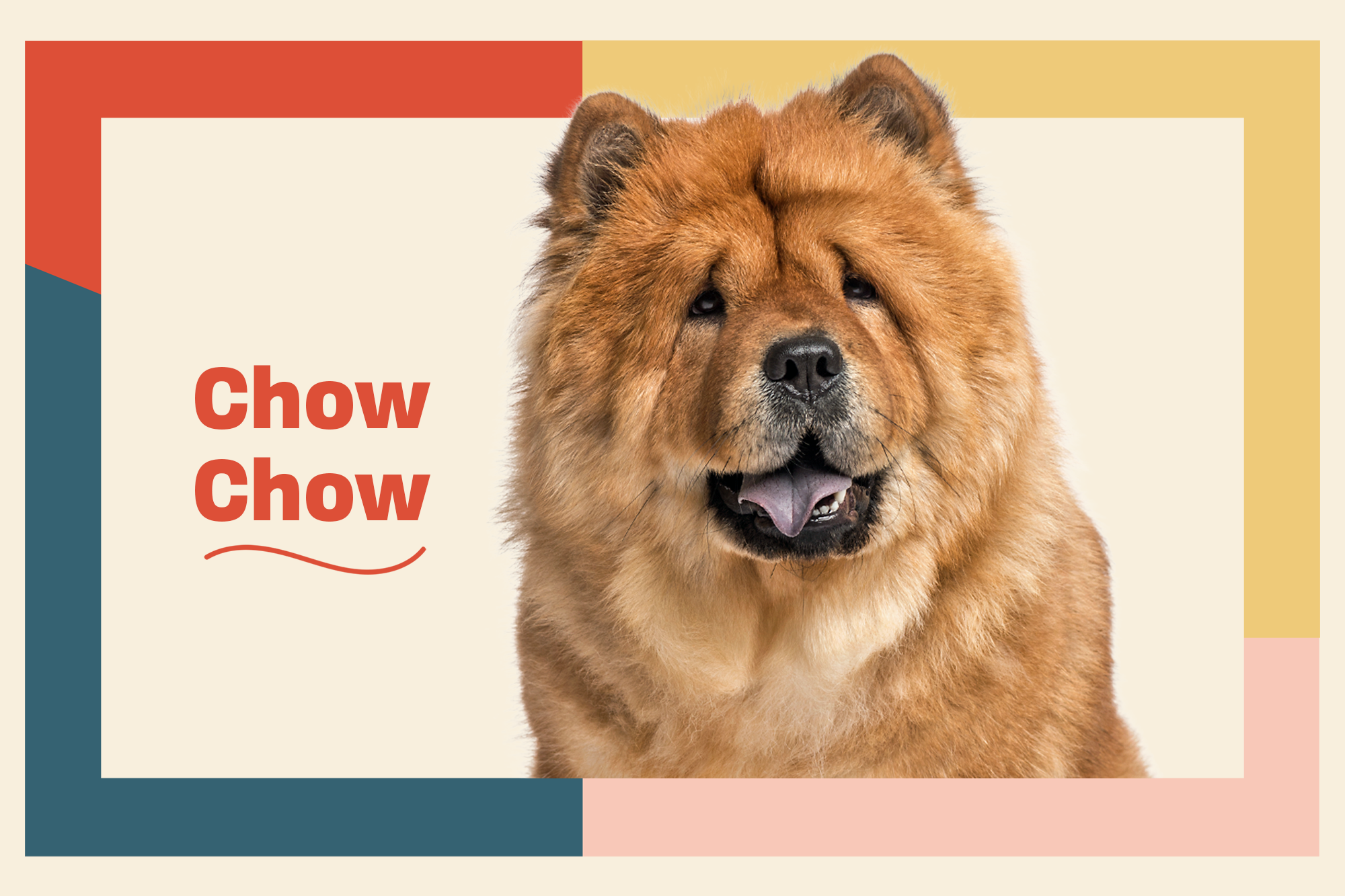 Chow Chow Breed Photo