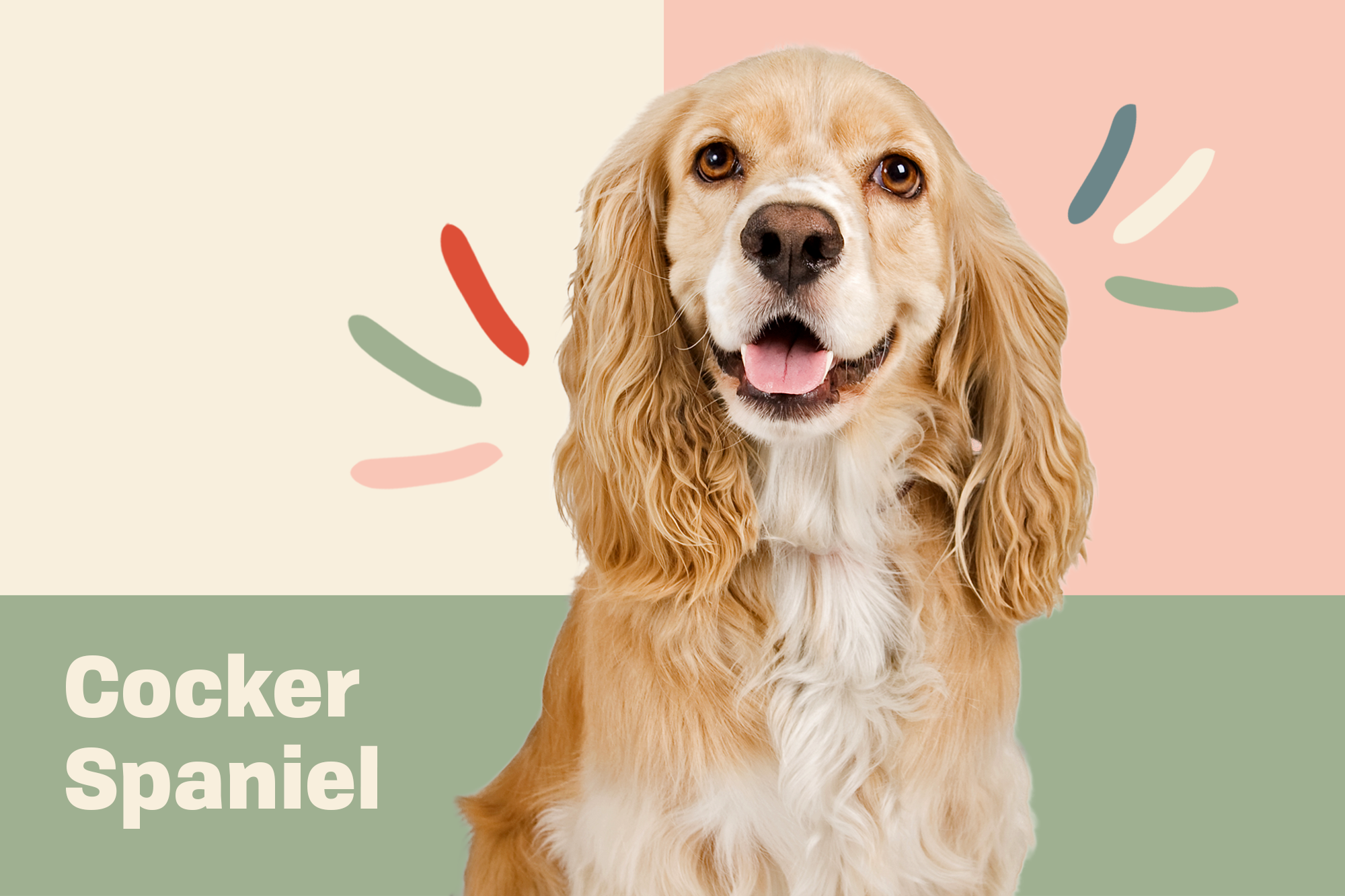 Cocker Spaniel Breed Photo