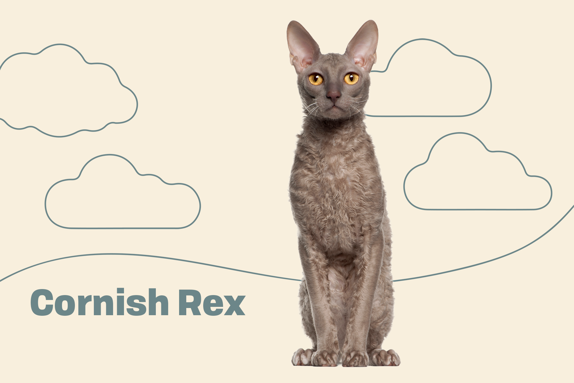 Cornish Rex Breed Photo