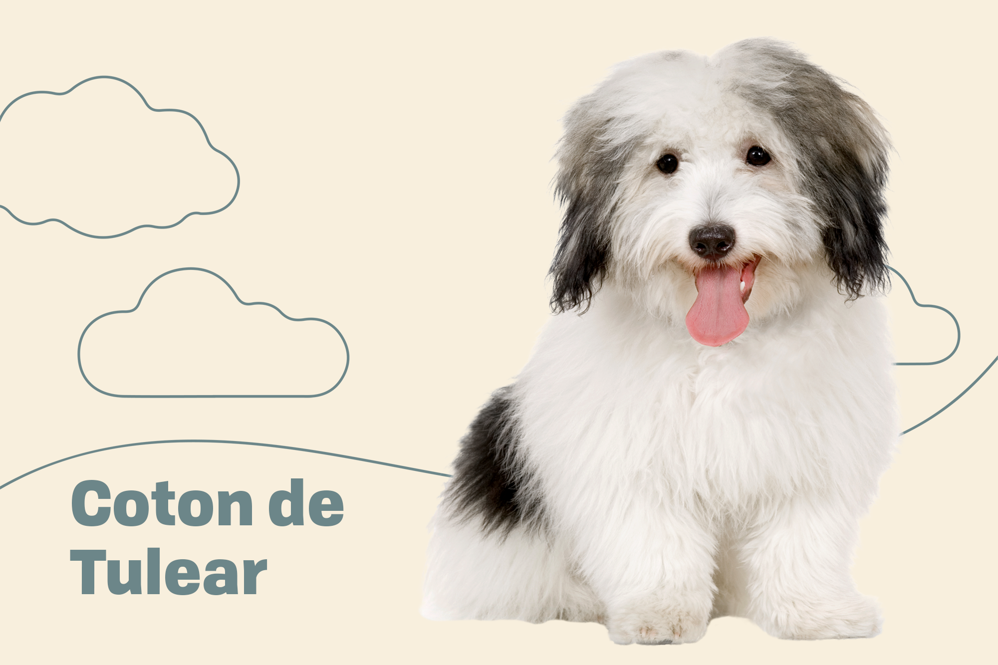 Coton de Tulear Breed Photo
