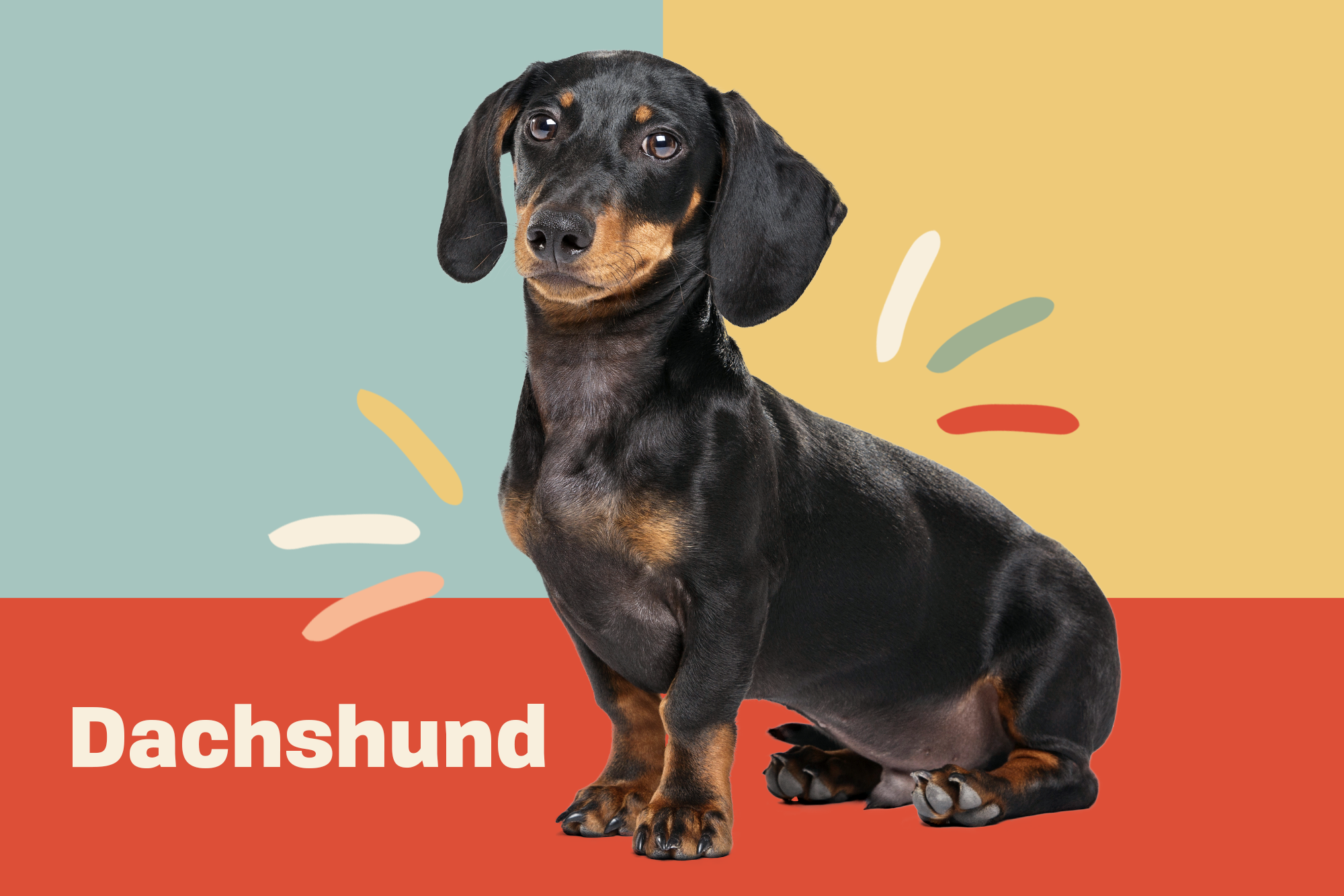 Dachshund Breed Photo