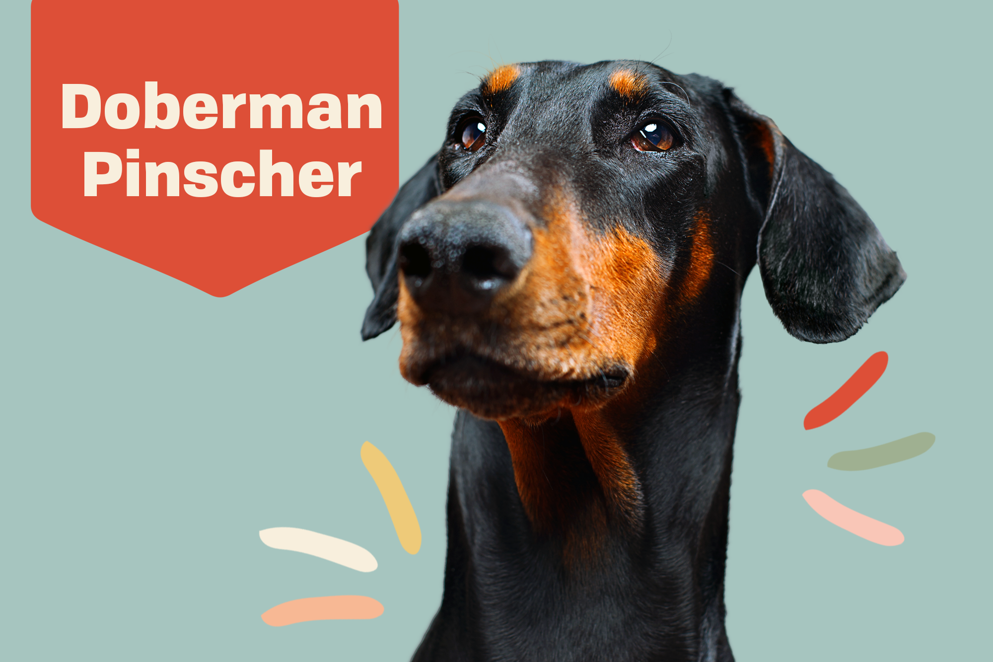 Doberman Pinscher Breed Photo