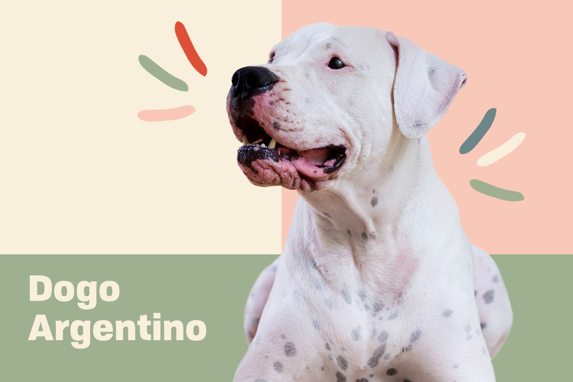 Dogo Argentino Breed Photo