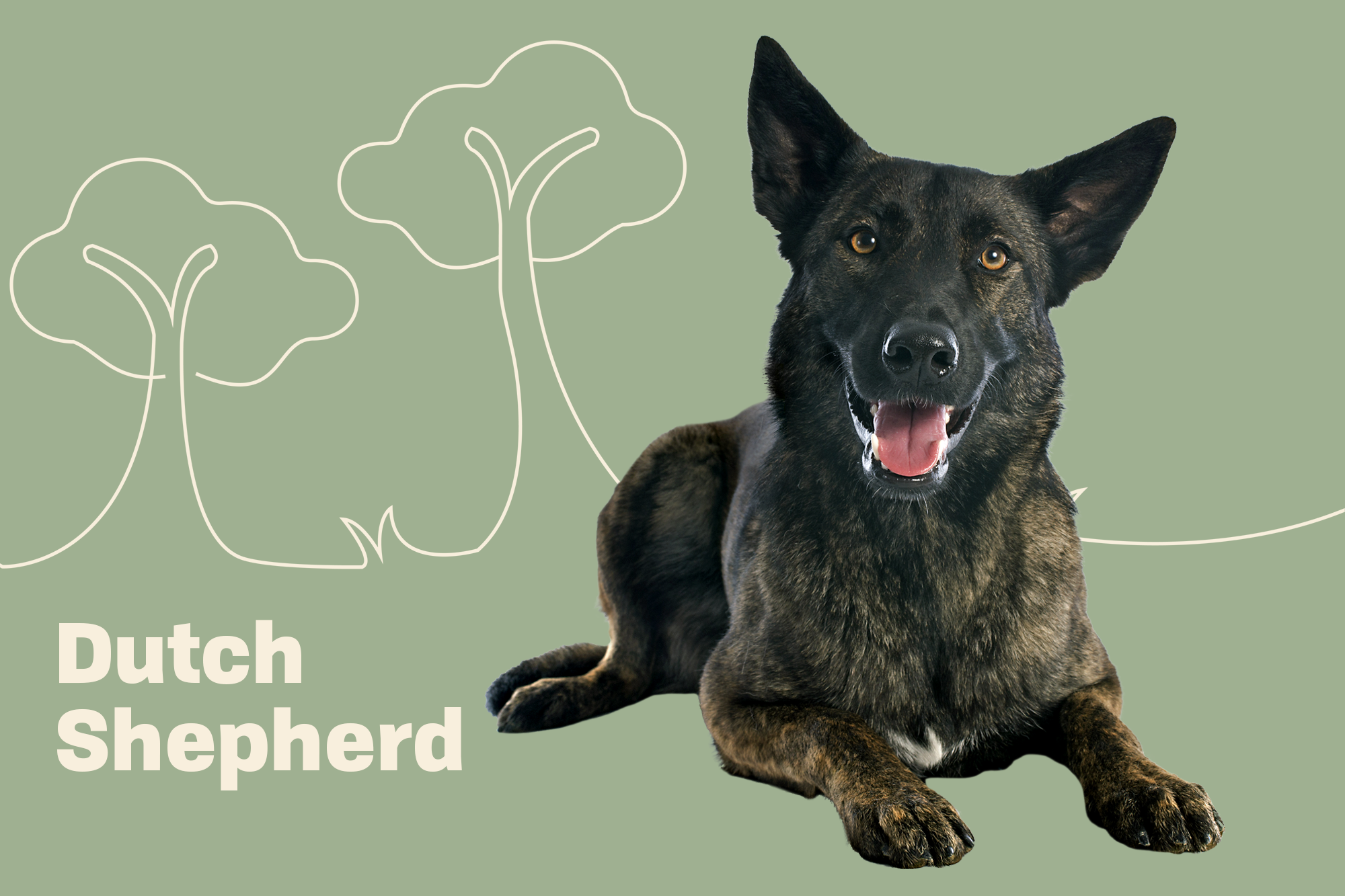 Dutch Shepherd Breed Photo