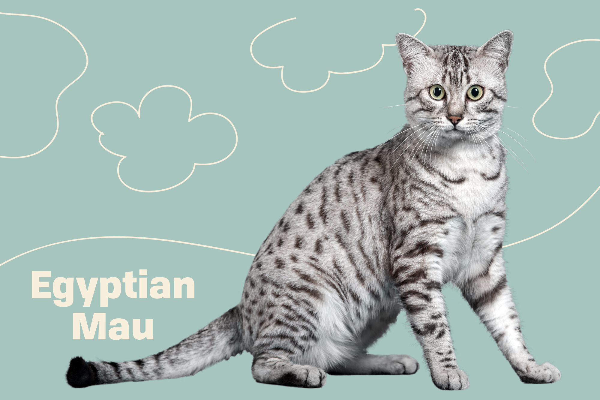 Egyptian Mau Breed Photo