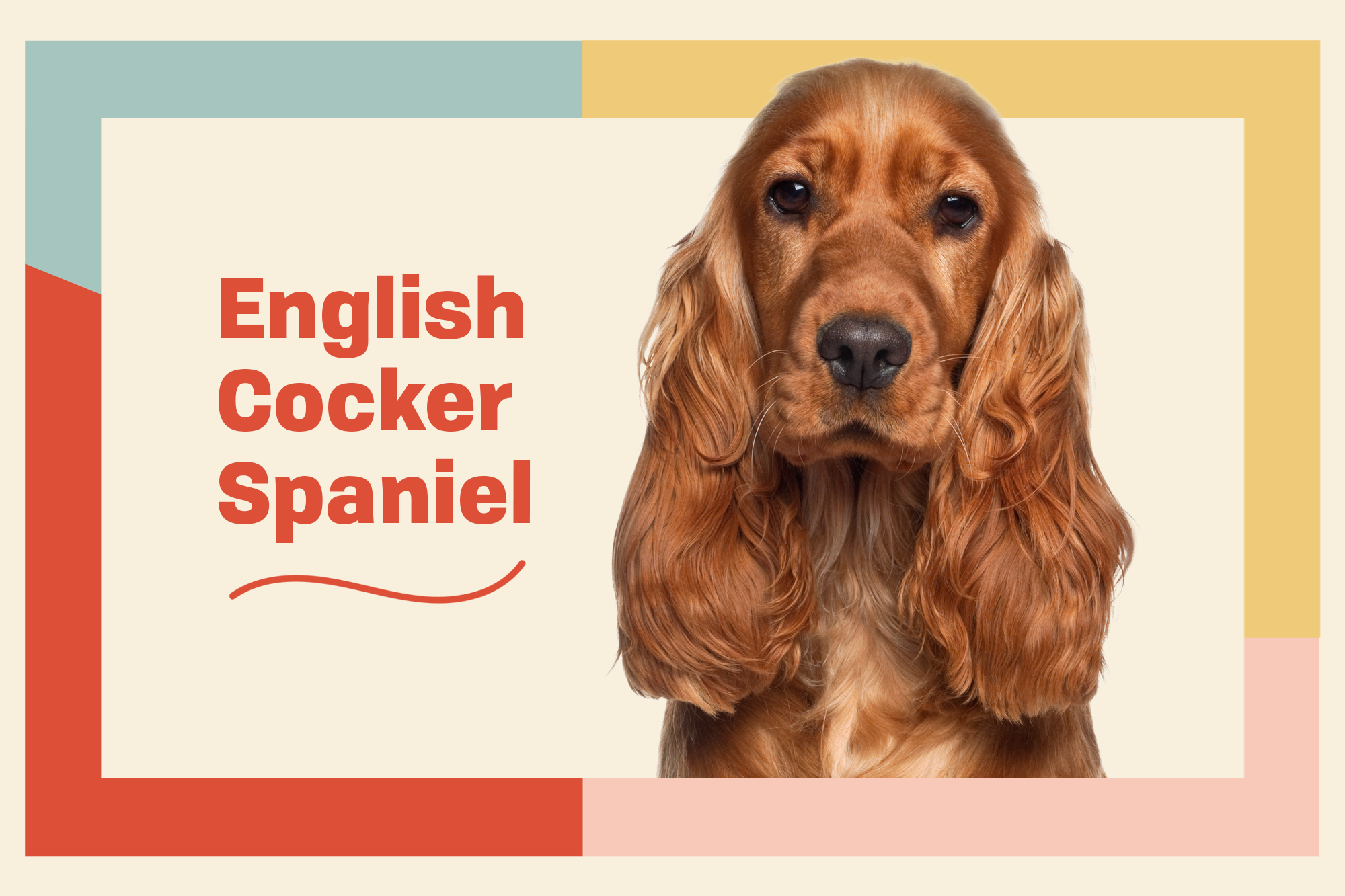 English Cocker Spaniel Breed Photo