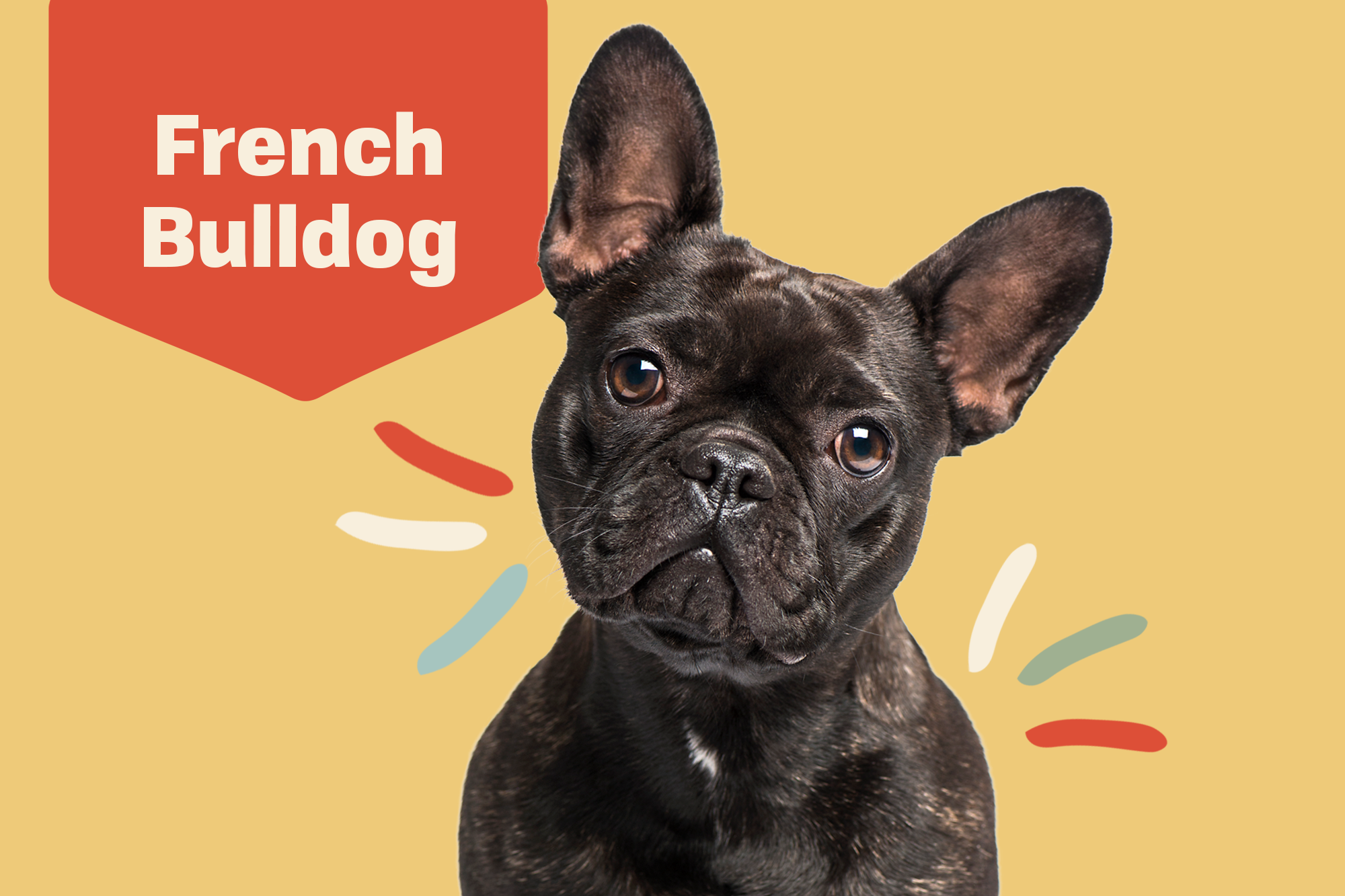 French Bulldog Breed Photo