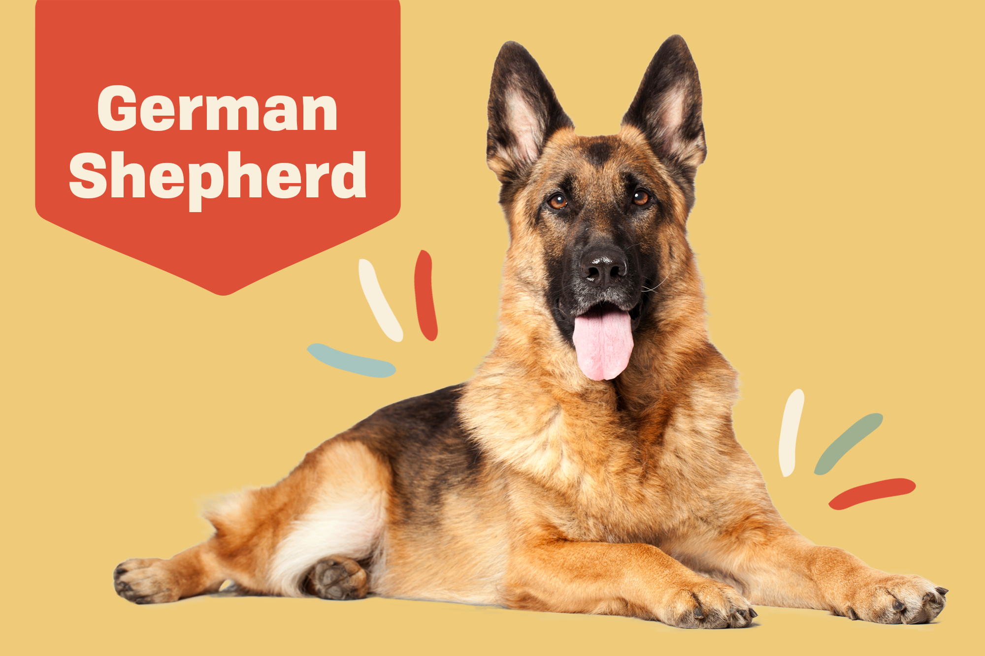 German Shepherd Breed Photo