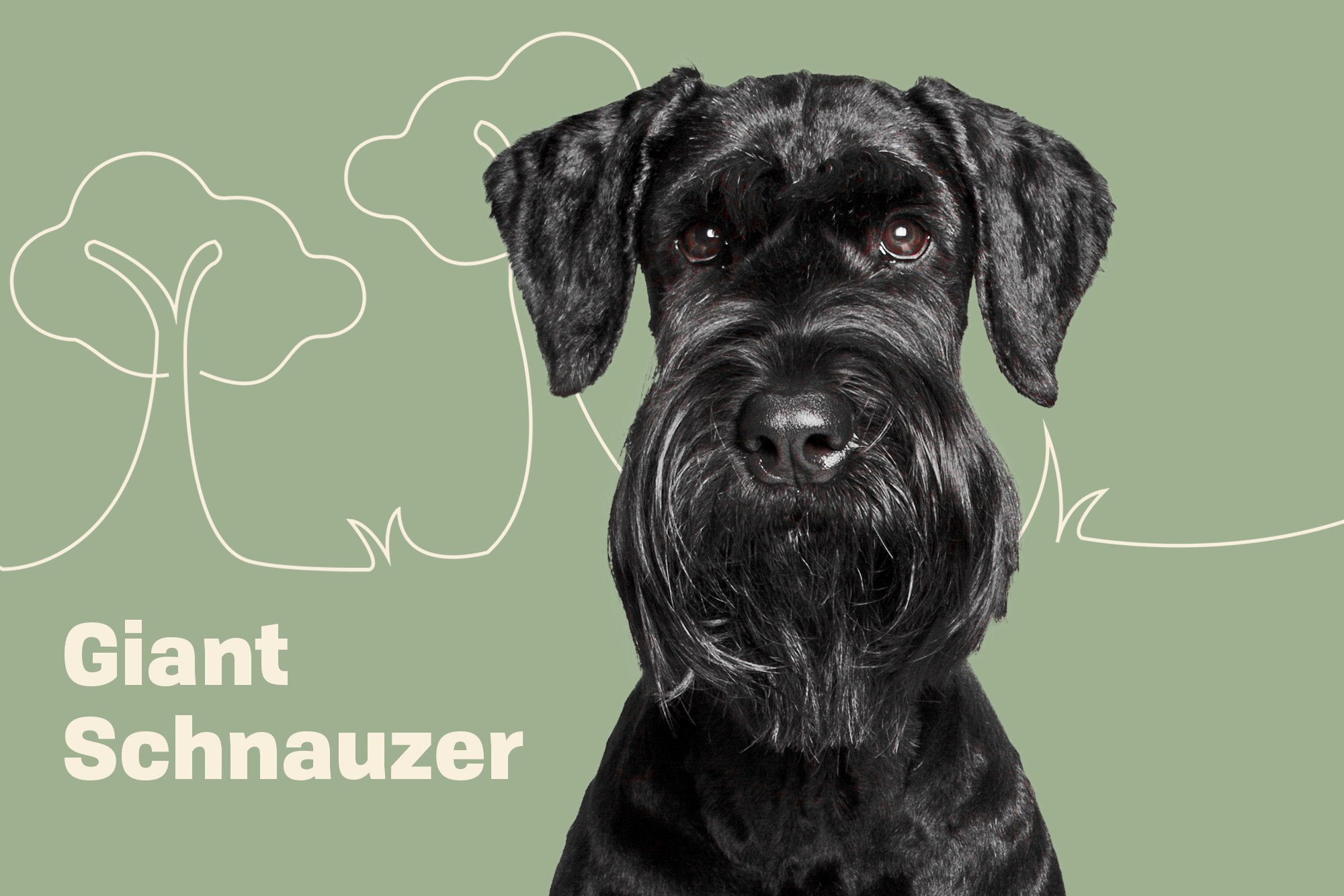 Giant Schnauzer Breed Photo