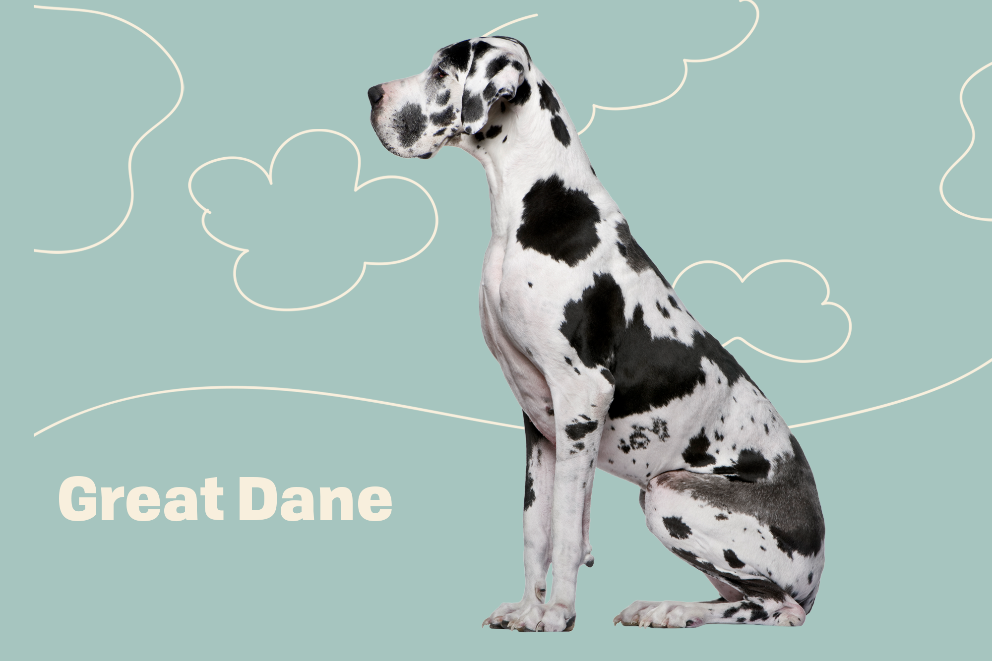Great Dane Breed Photo