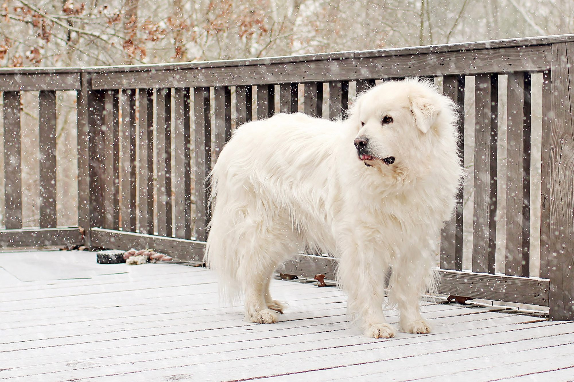 great pyrenees standing on deck in snow