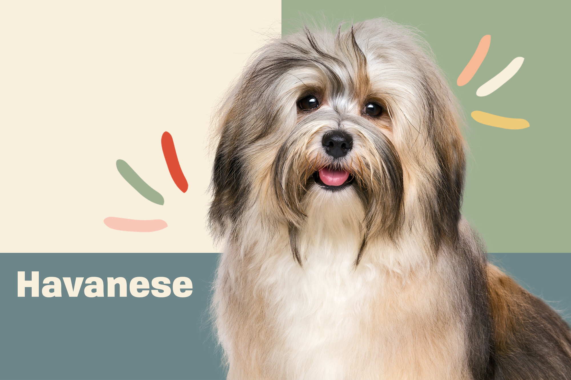 Havanese Breed Photo