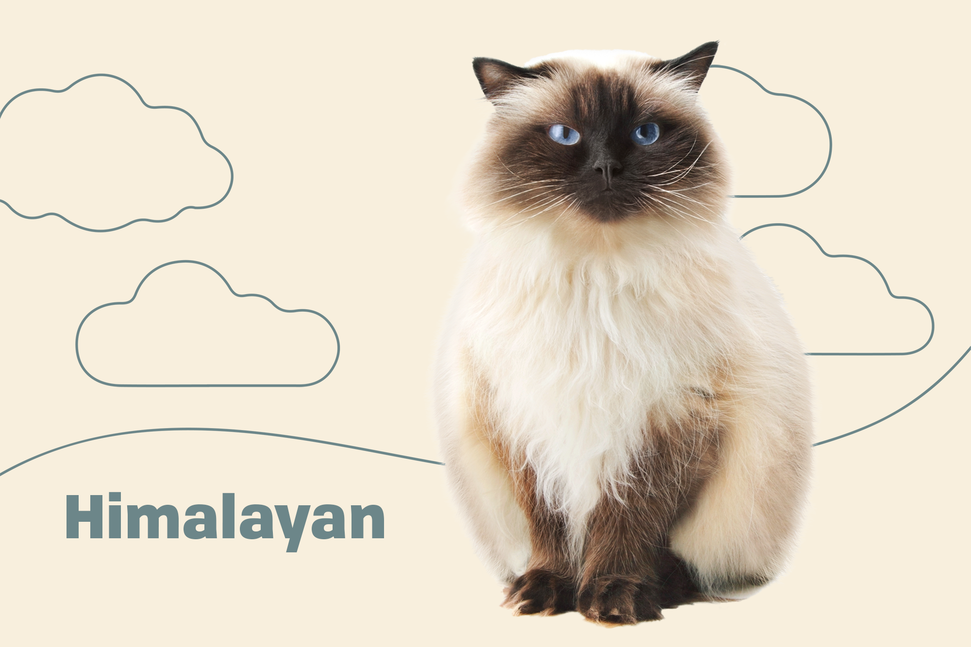 Himalayan Colorpoint Persian Breed Photo