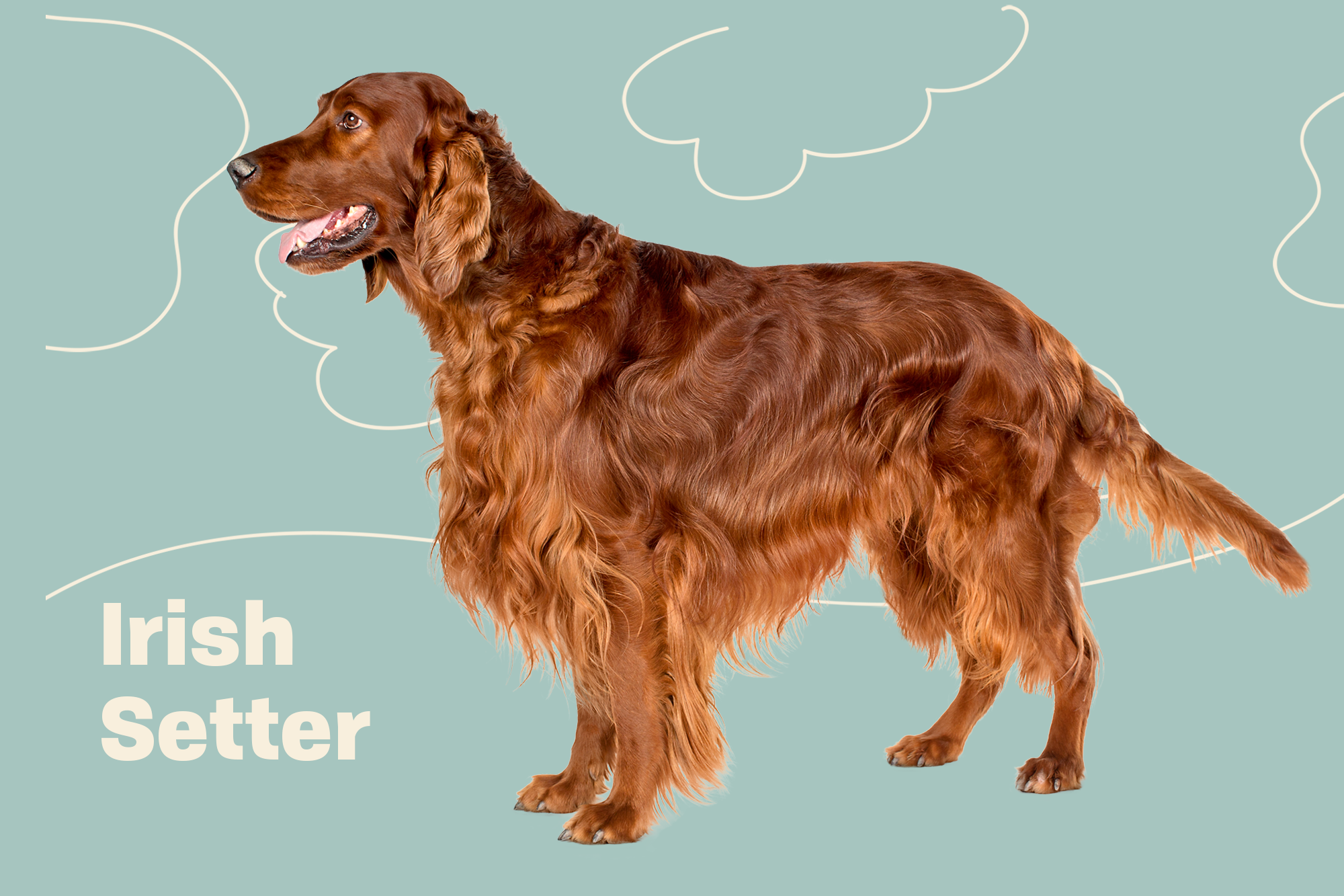 Irish Setter Breed Photo